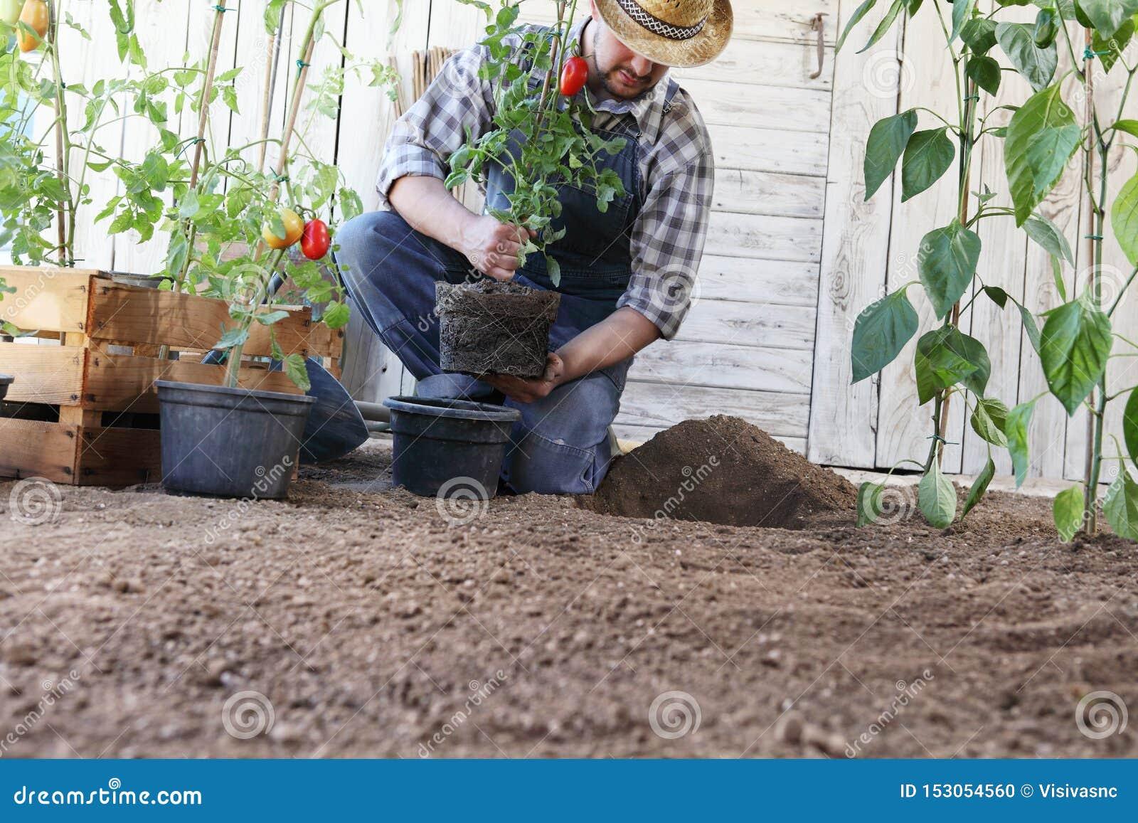 Planter Des Tomates En Pot d'homme d'usine les tomates des pots dans le sol du potager
