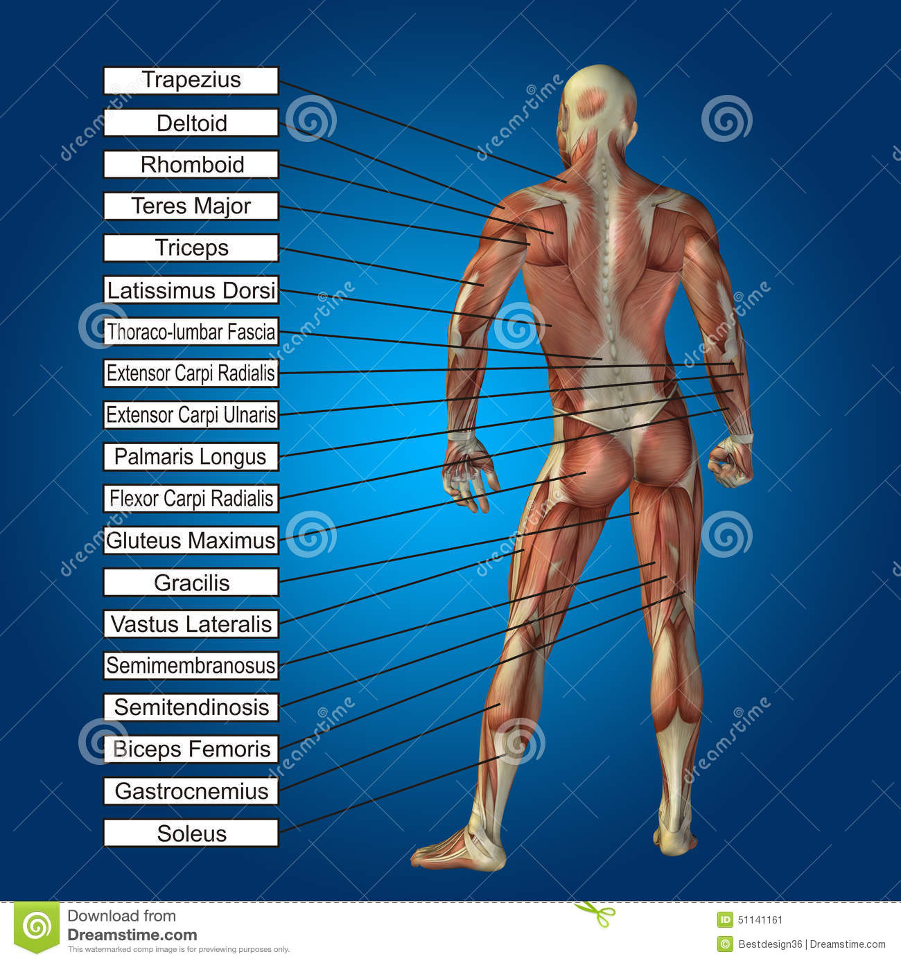 3D Human Male Anatomy With Muscles And Text Stock Illustration ...
