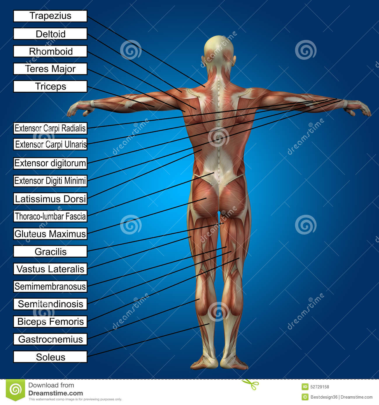 3d Human Male Anatomy With Muscles And Text Stock Photo Image Of