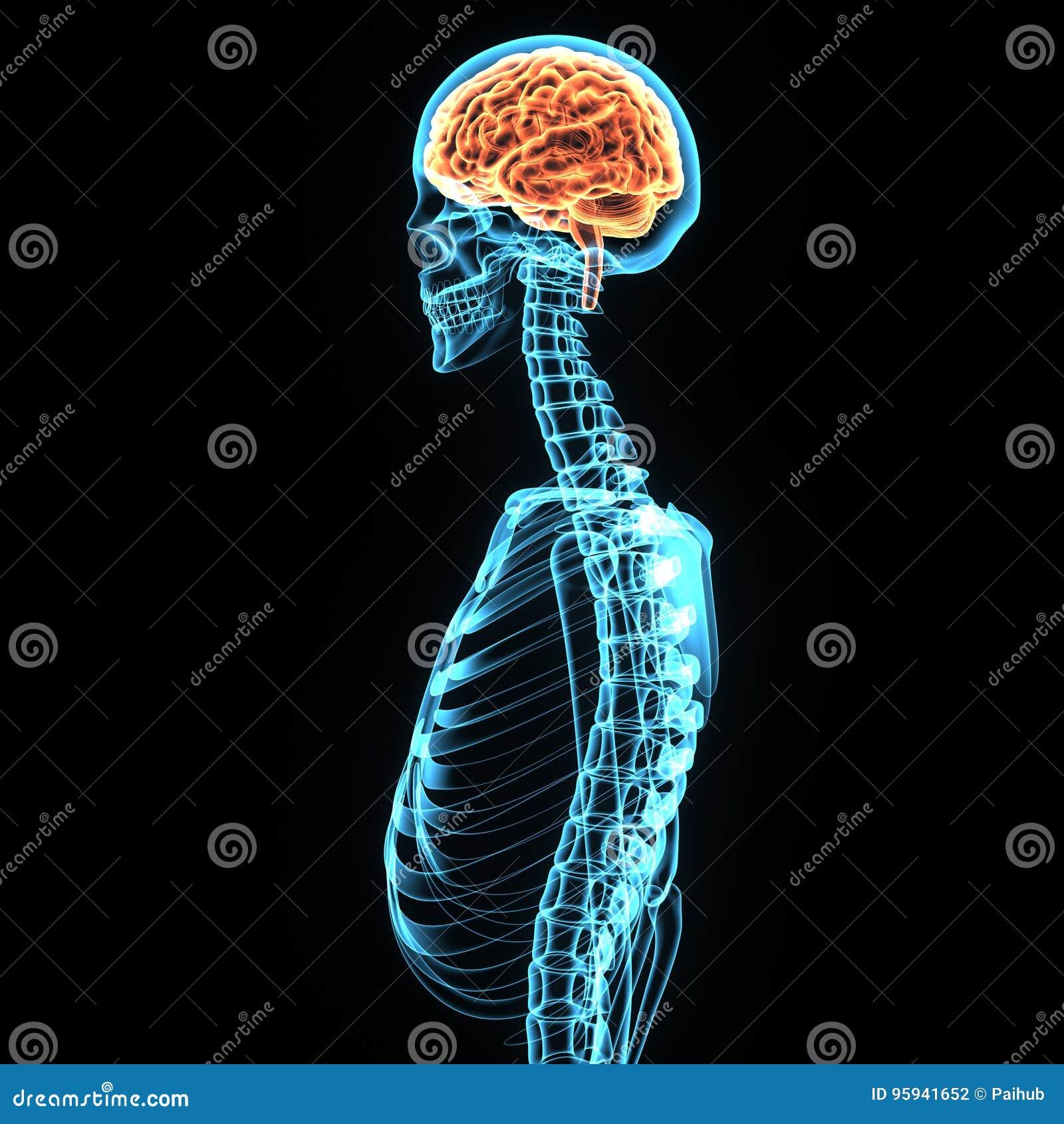 3d illustratie van de anatomie van menselijk lichaamshersenen