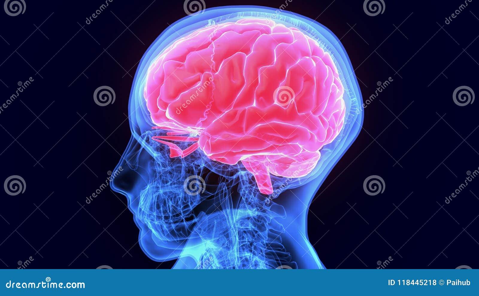 3d illustratie van de hersenenanatomie van het menselijk lichaamsorgaan