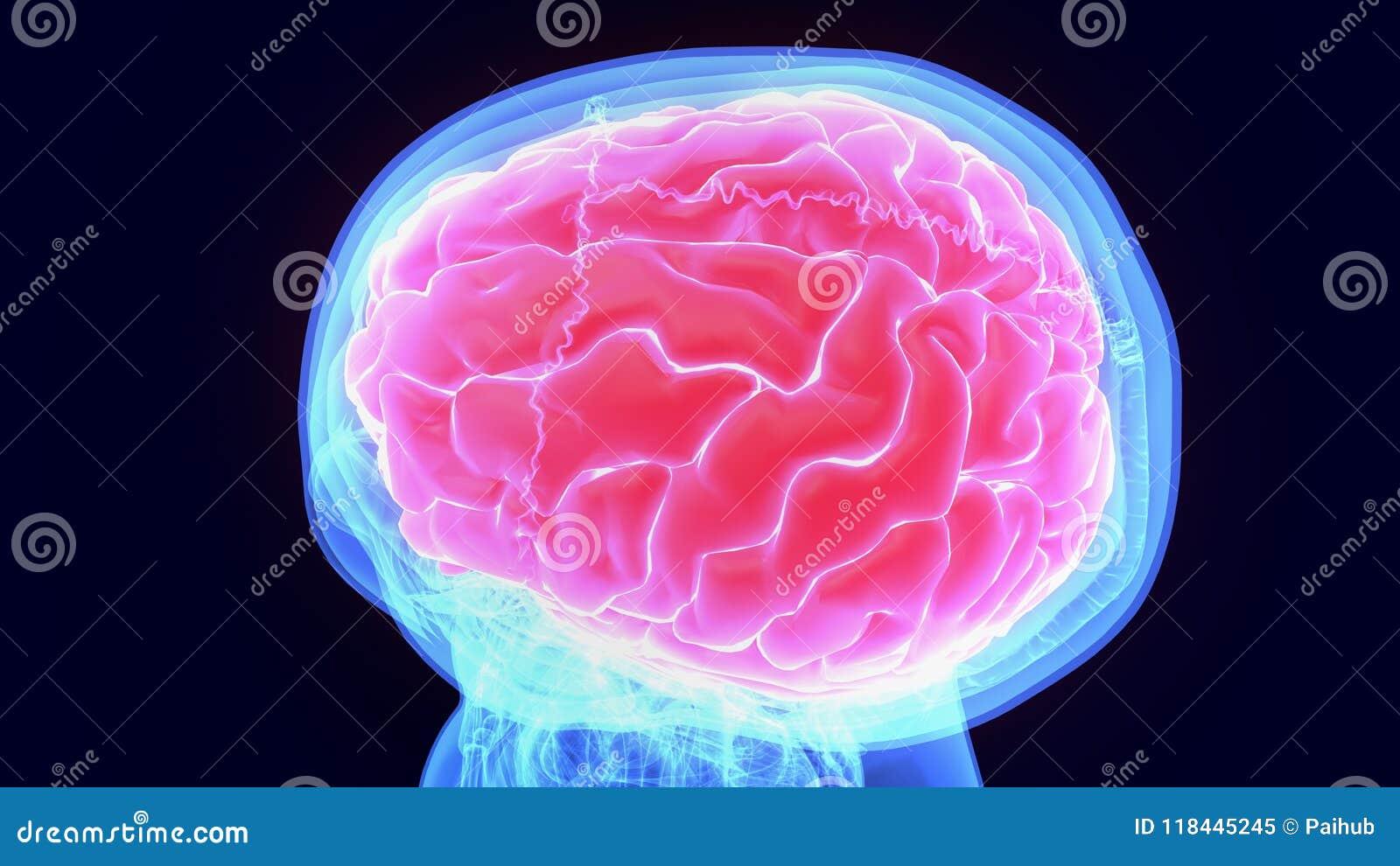 3d illustratie van menselijk lichaams organbrain anatomie