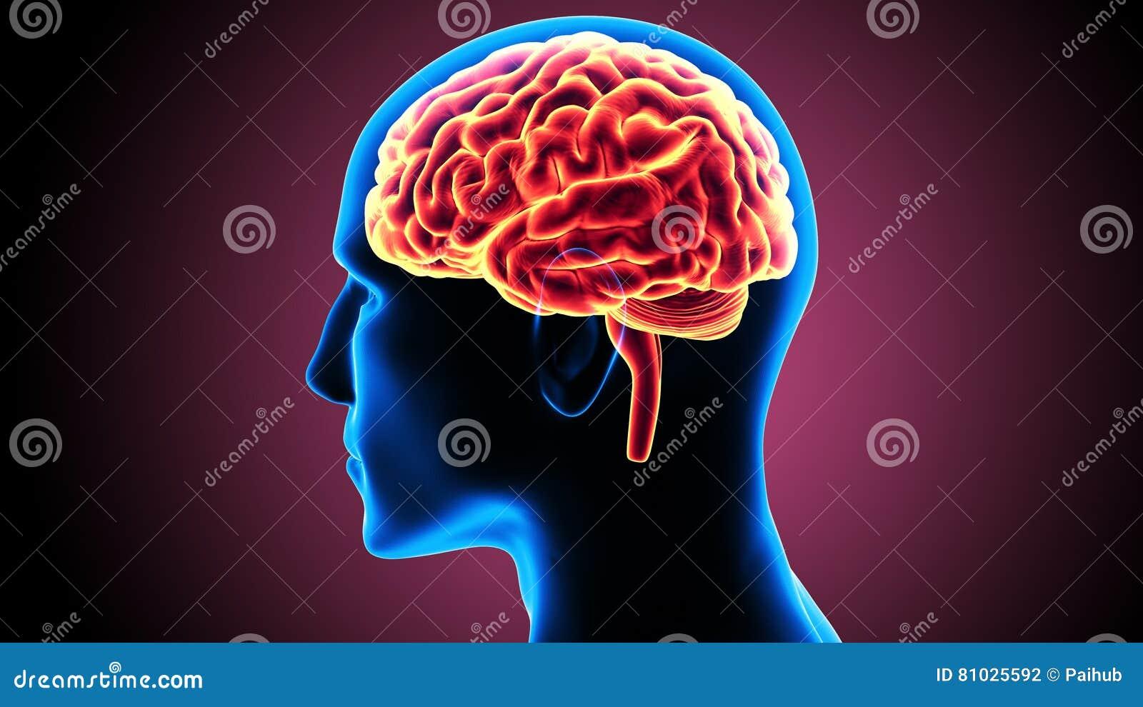 3d illustratie van menselijk lichaams organsbrain anatomie
