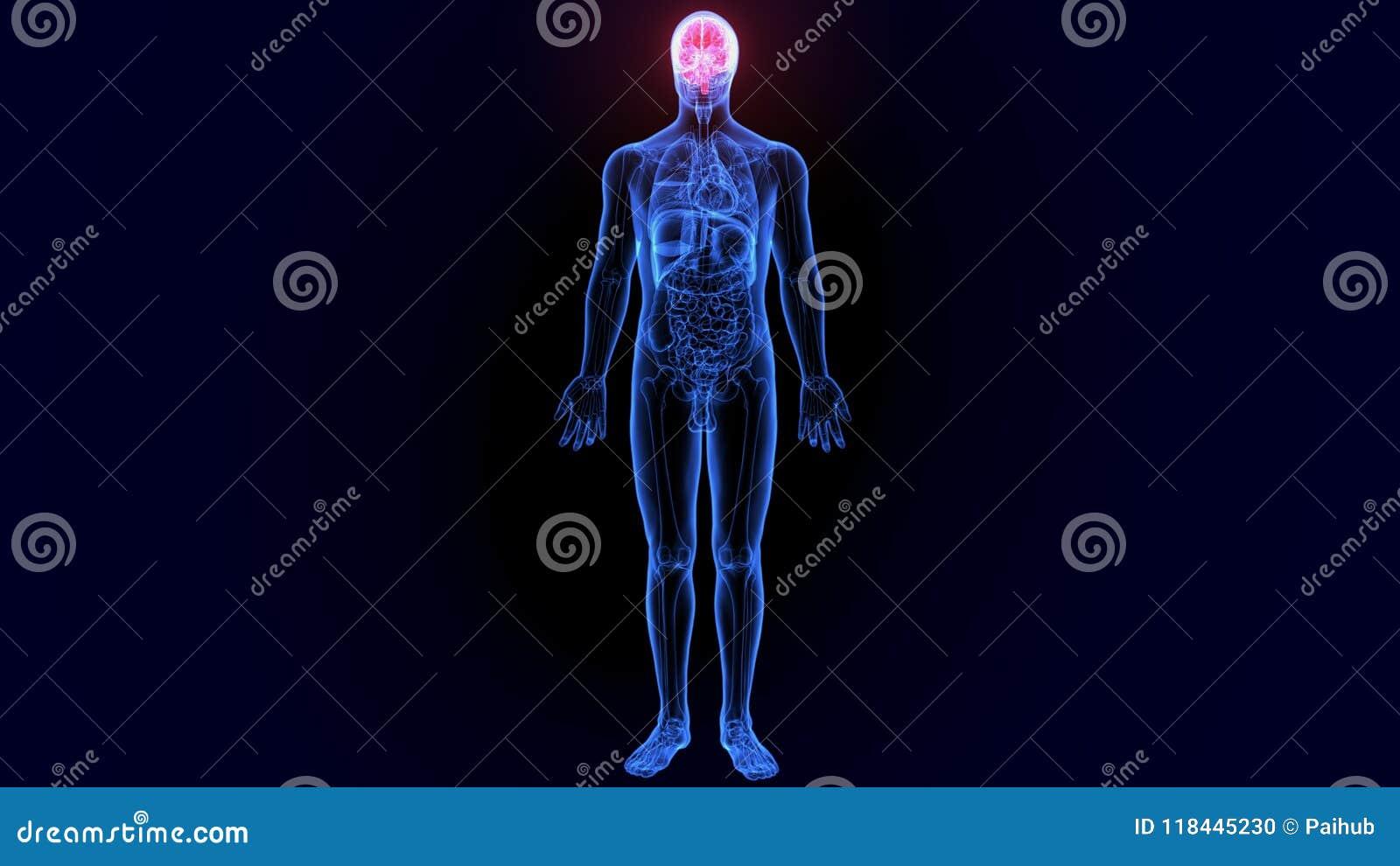 3d illustratie van menselijk lichaamsorgaan
