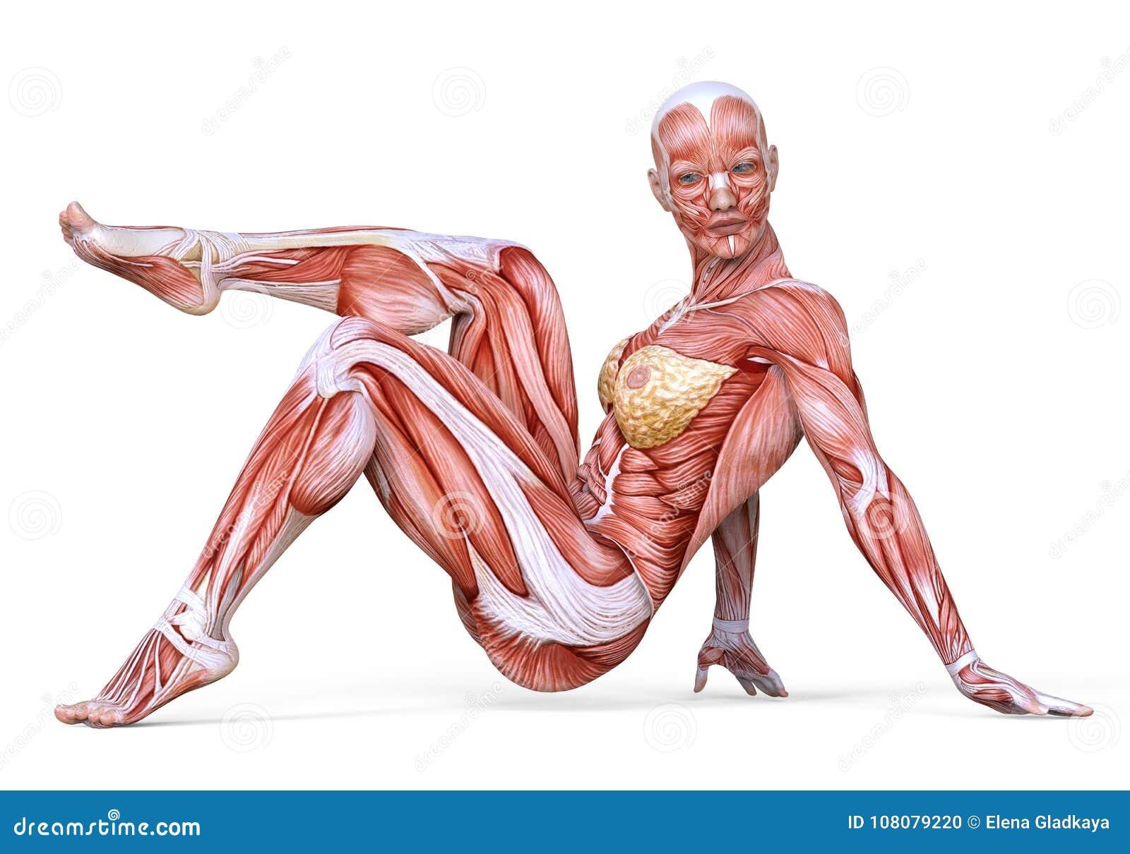 Nieuw 3D Illustratie Vrouwelijk Die Lichaam Zonder Huid, Anatomie En CM-81