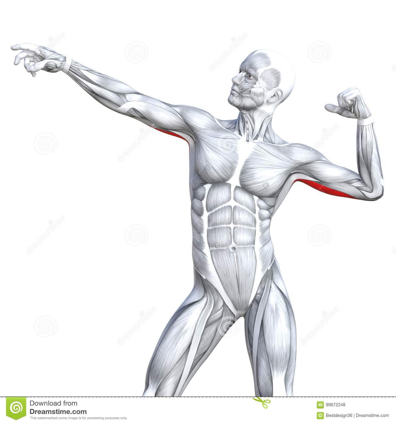 3d Illustration Back Fit Strong Human Anatomy Stock Illustration