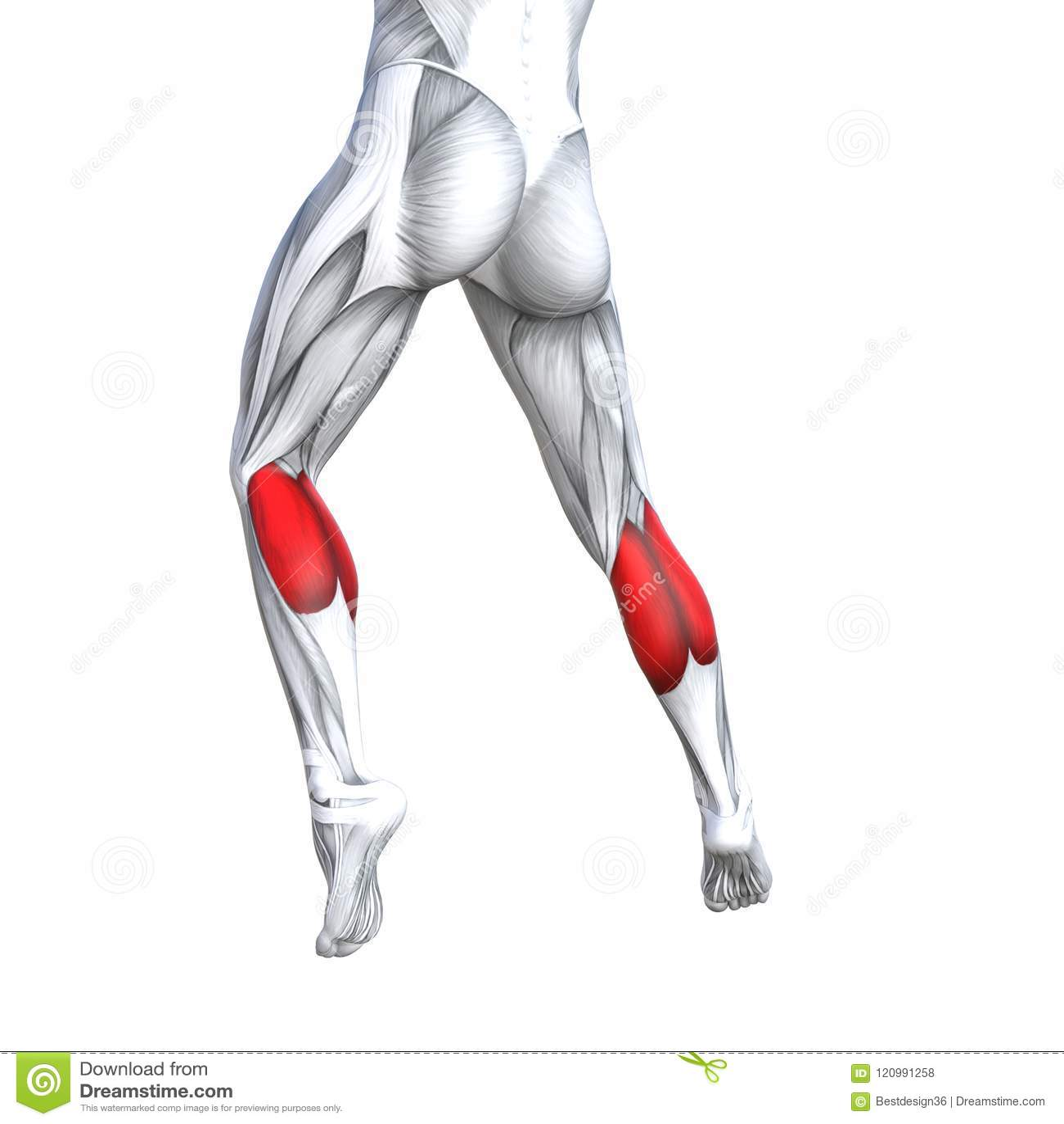 3D Illustration Back Lower Leg Human Anatomy Stock Illustration ...