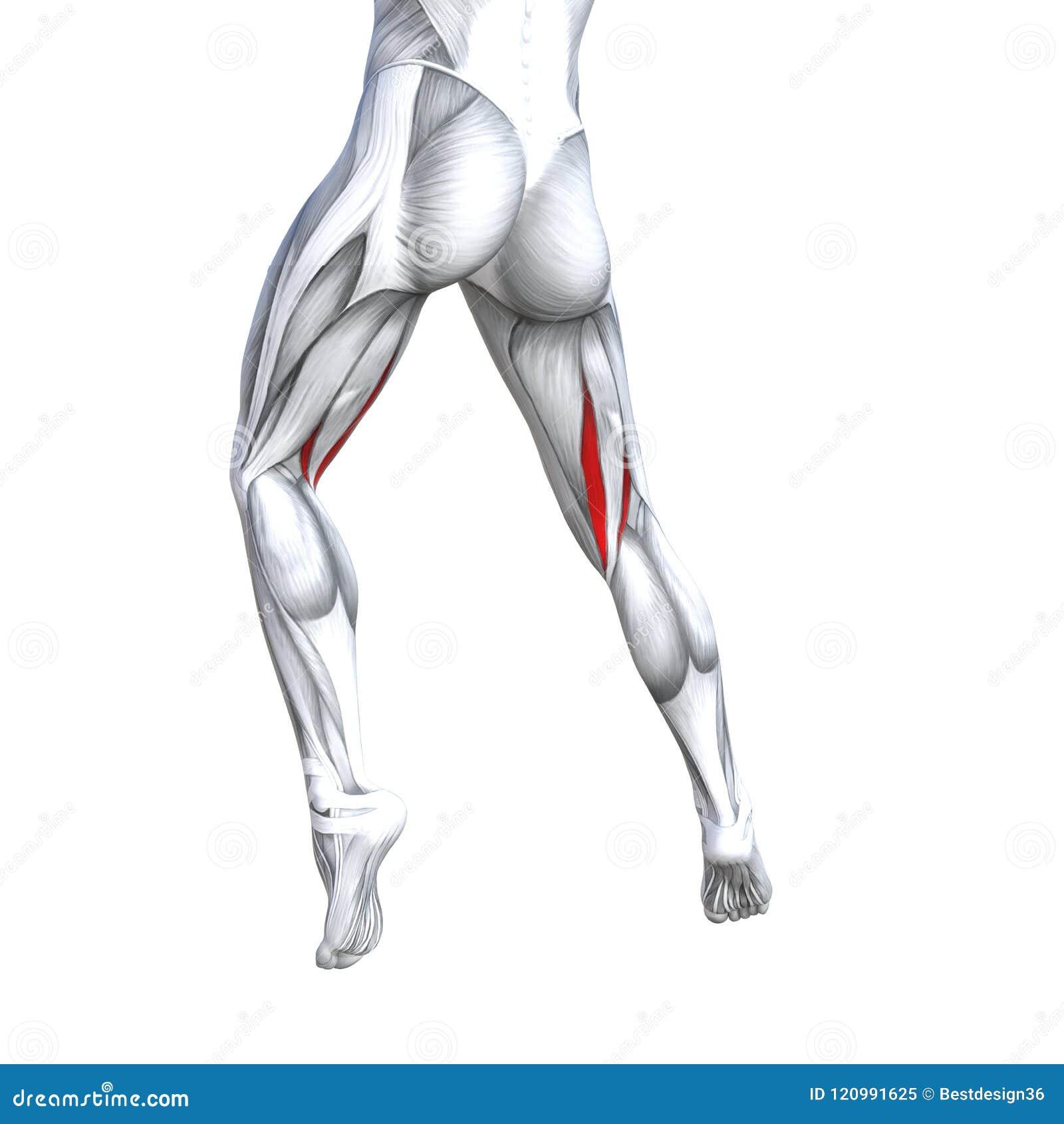 3D Illustration Back Upper Leg Human Anatomy Stock Illustration ...