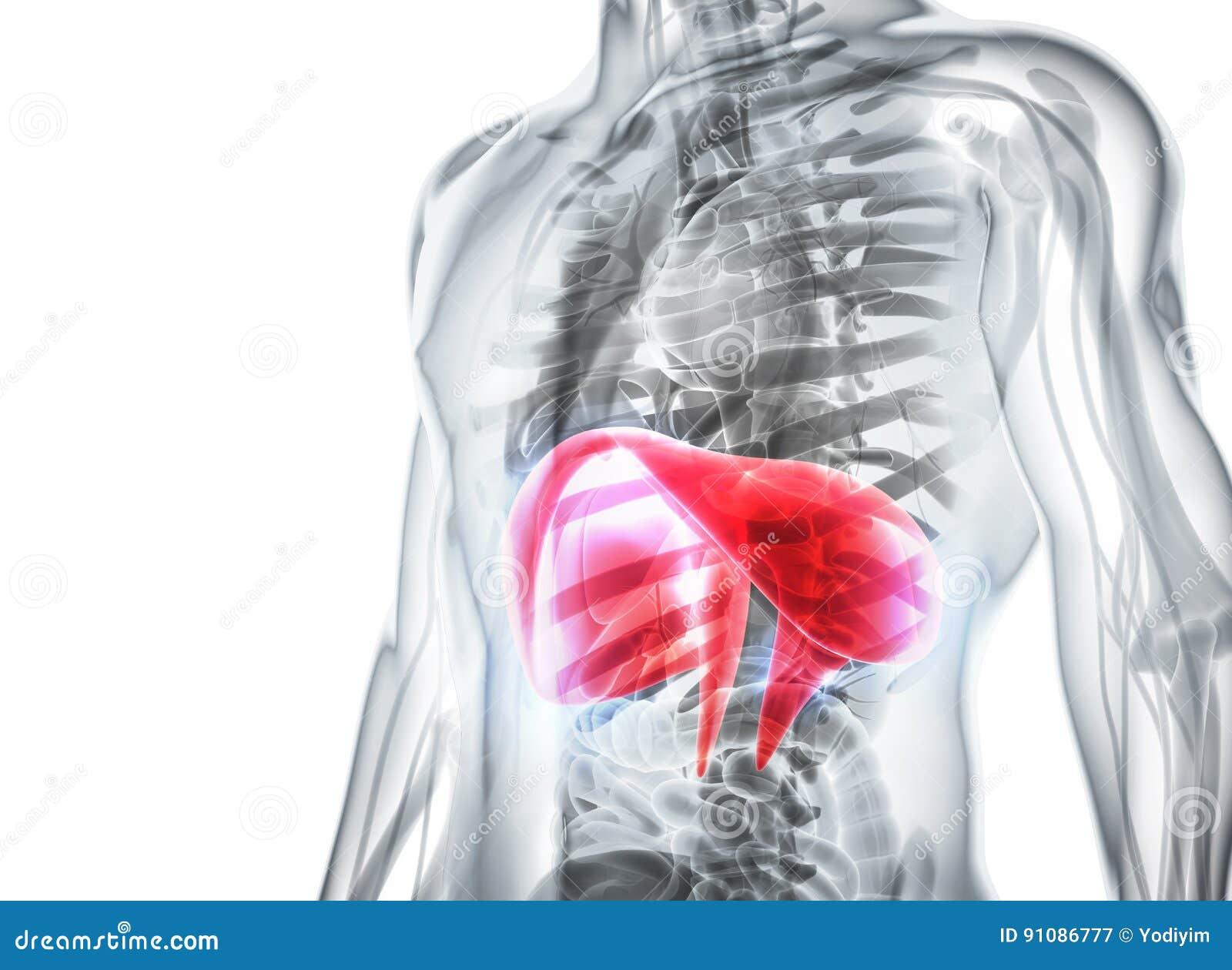 3d Illustration Of Diaphragm Medical Concept Stock Illustration