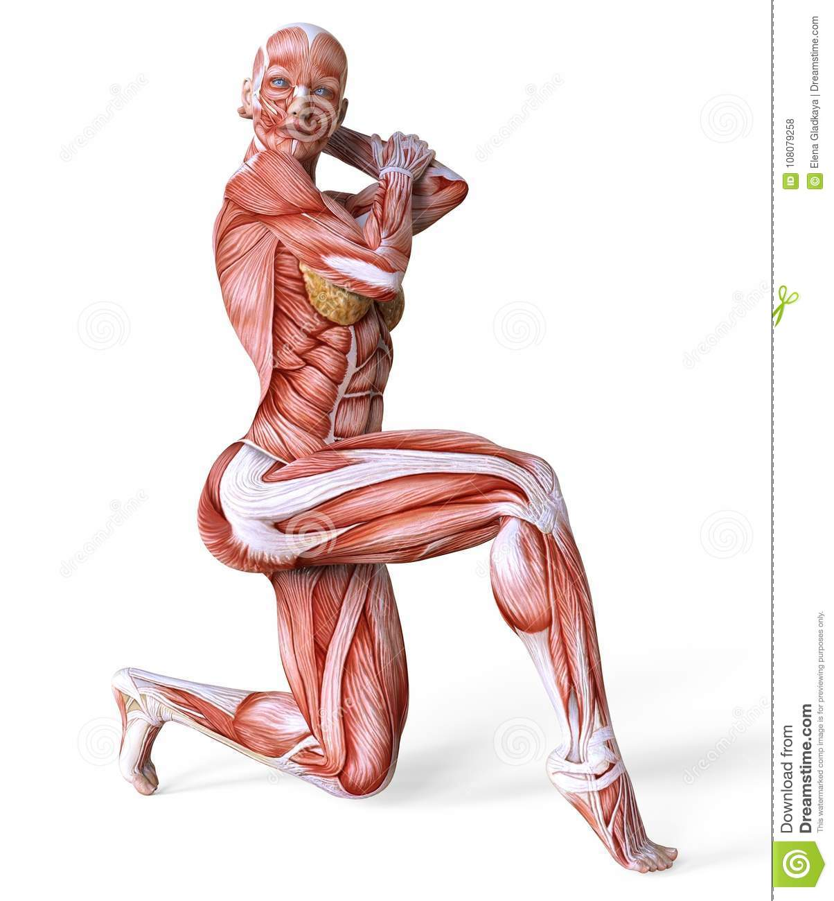 3D Illustration Female Body Without Skin, Anatomy And Muscles ...