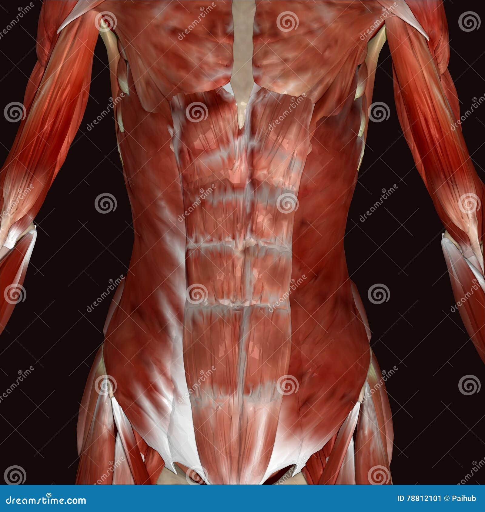 3d illustration female human body