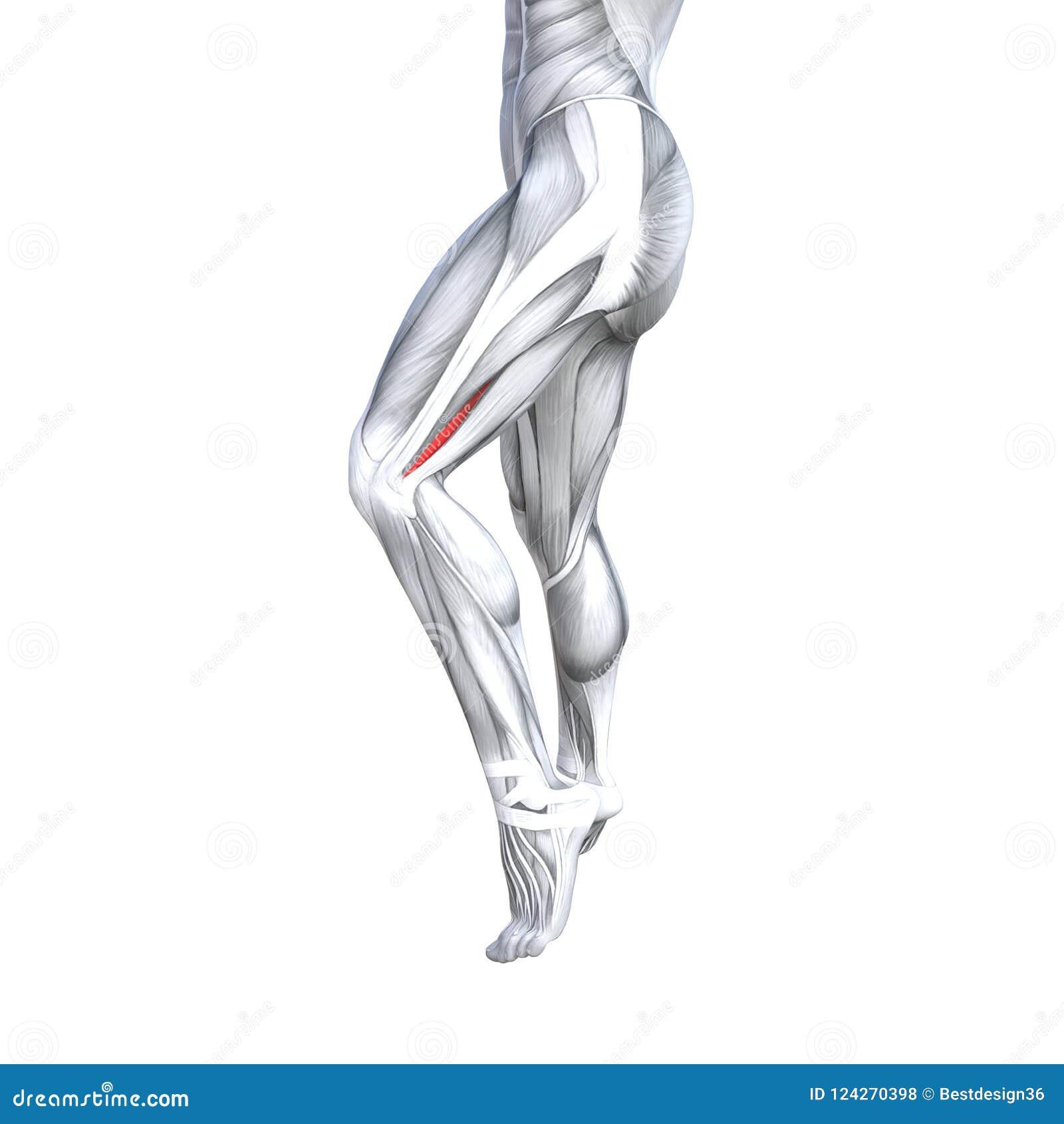 3d Illustration Fit Strong Back Upper Leg Human Anatomy Stock