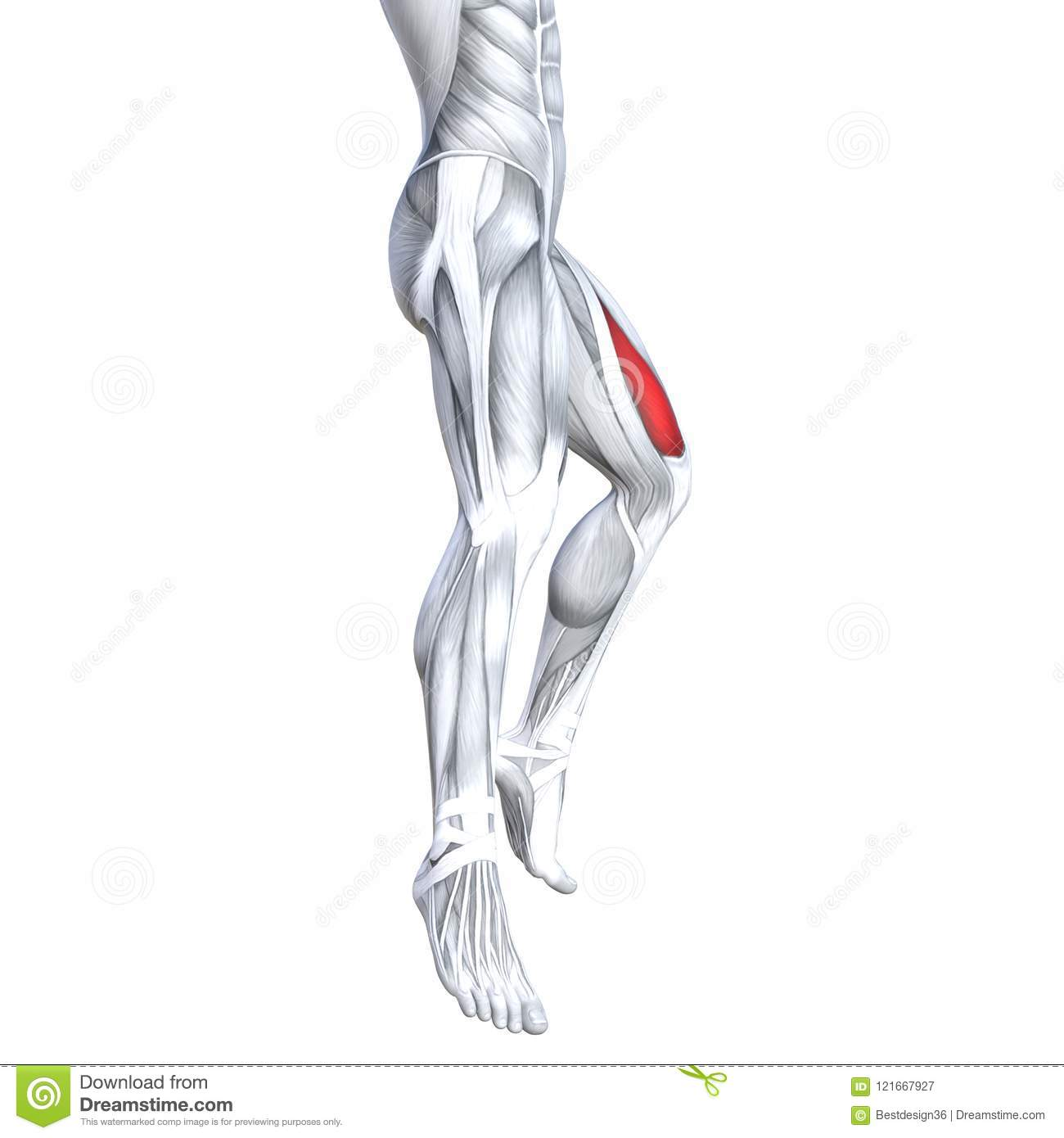 3d Illustration Fit Strong Back Upper Leg Human Anatomy Stock