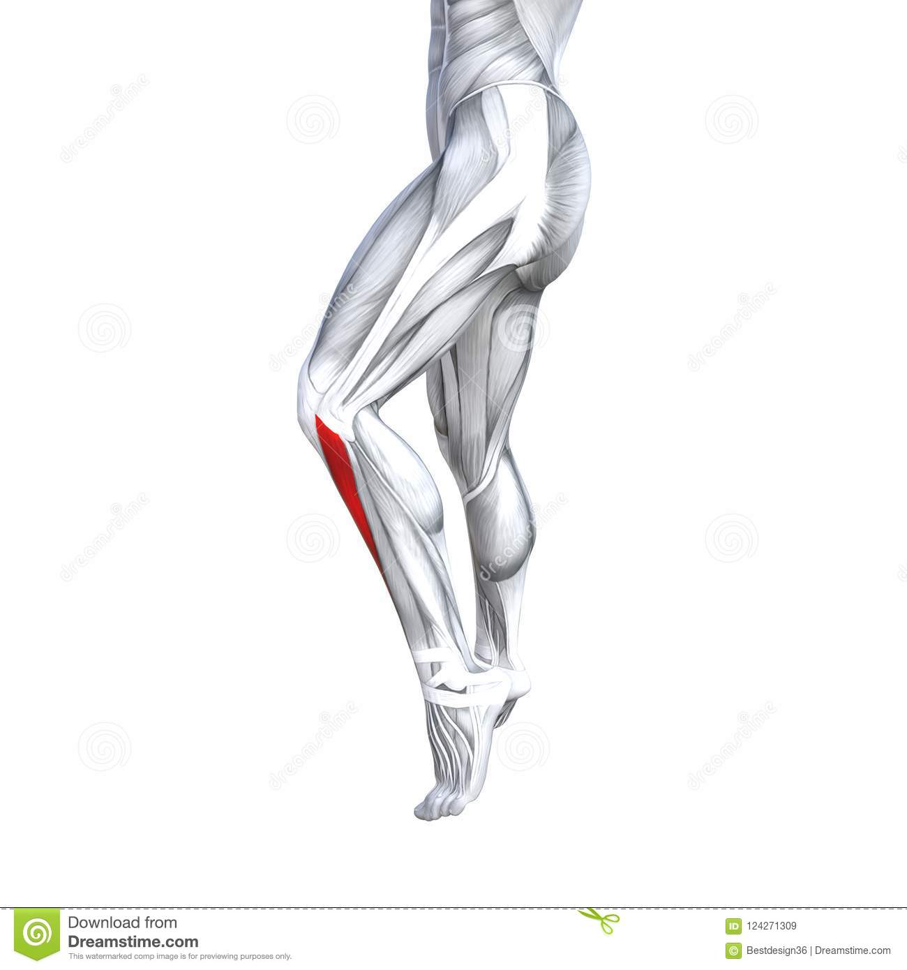 3d Illustration Fit Strong Front Lower Leg Human Anatomy Stock