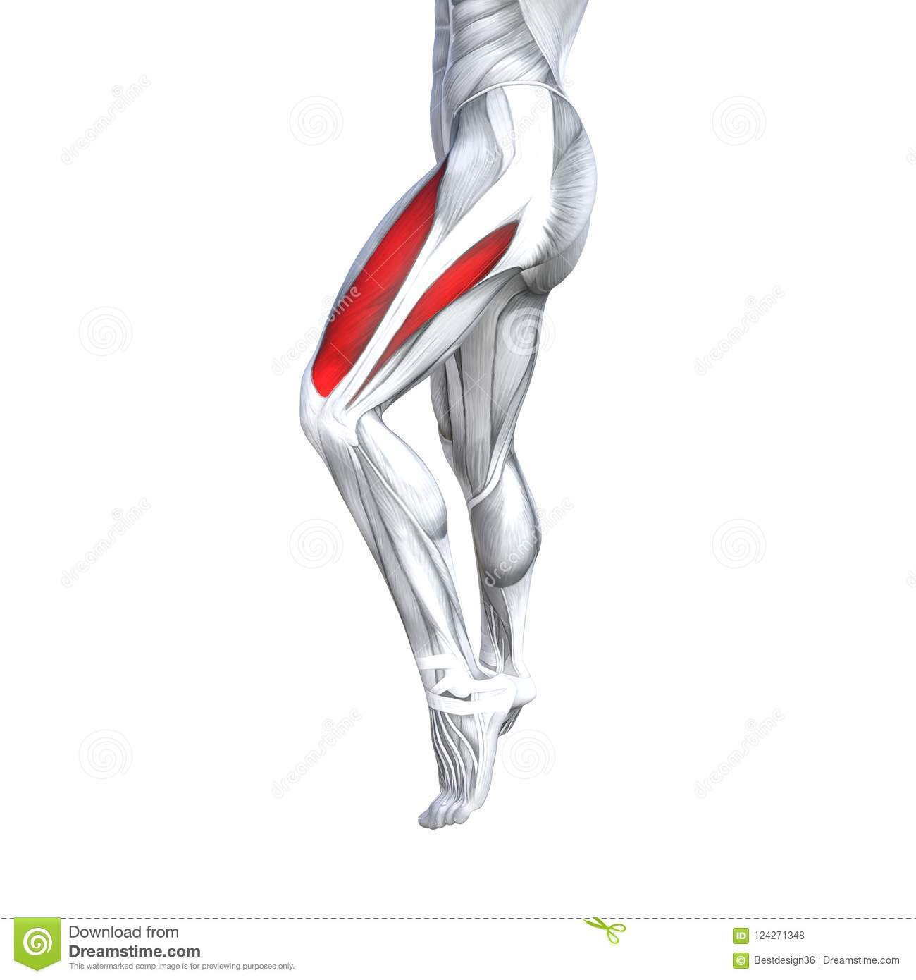 3D illustration fit strong front upper leg human anatomy, anatomical muscle isolated white background for body