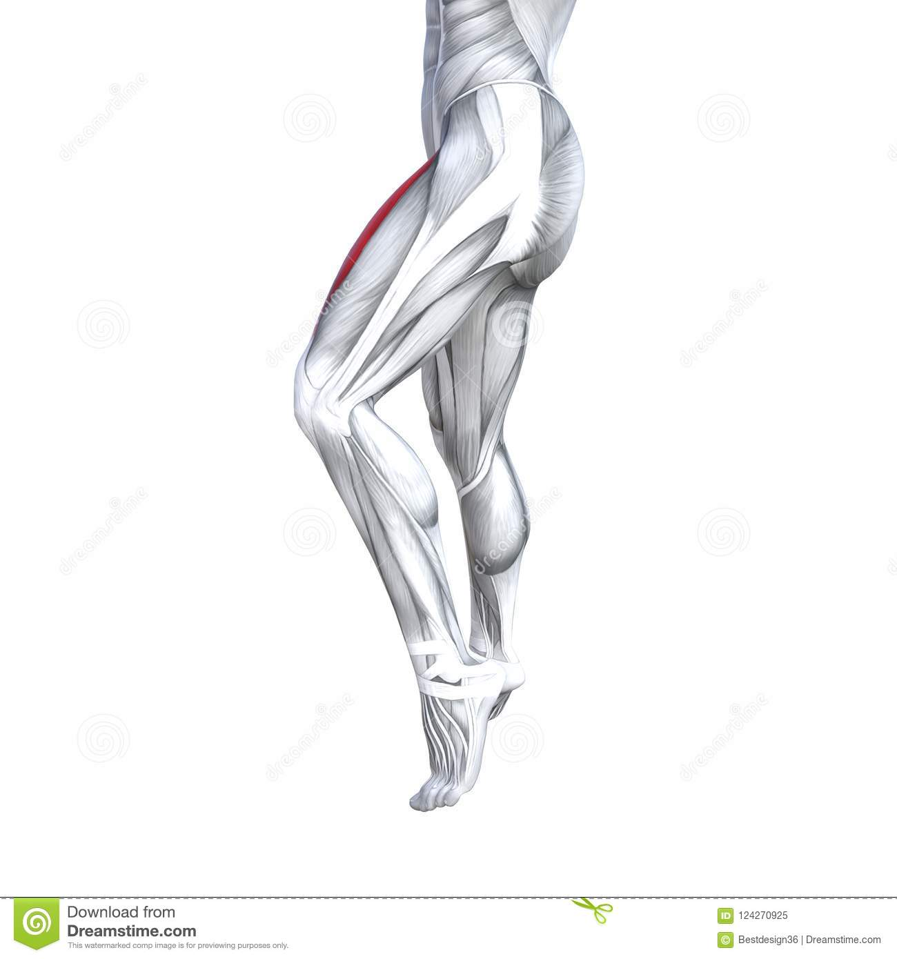 3D Illustration Fit Strong Front Upper Leg Human Anatomy Stock ...
