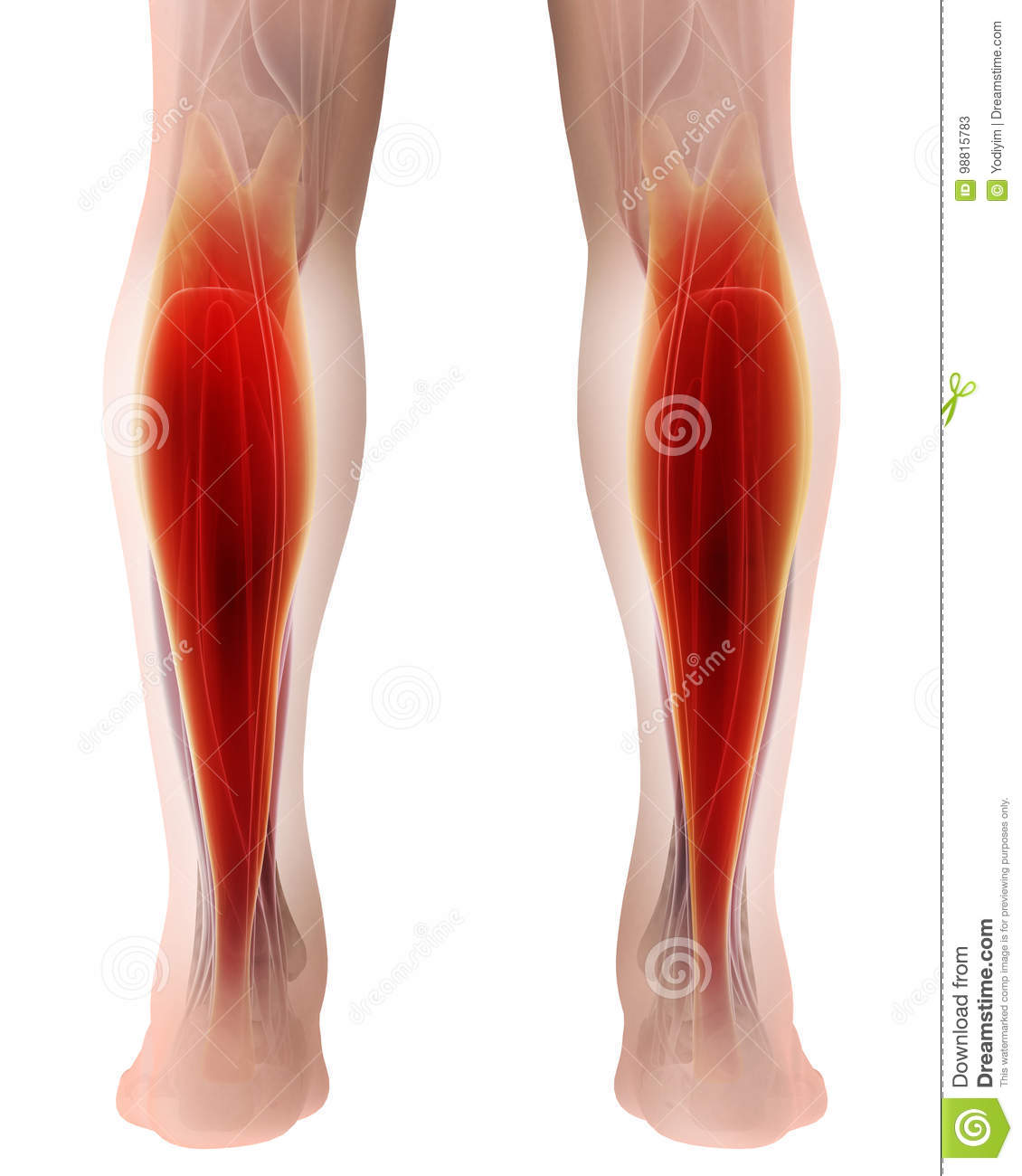 3d Illustration Of Gastrocnemius Part Of Legs Muscle Anatomy Stock