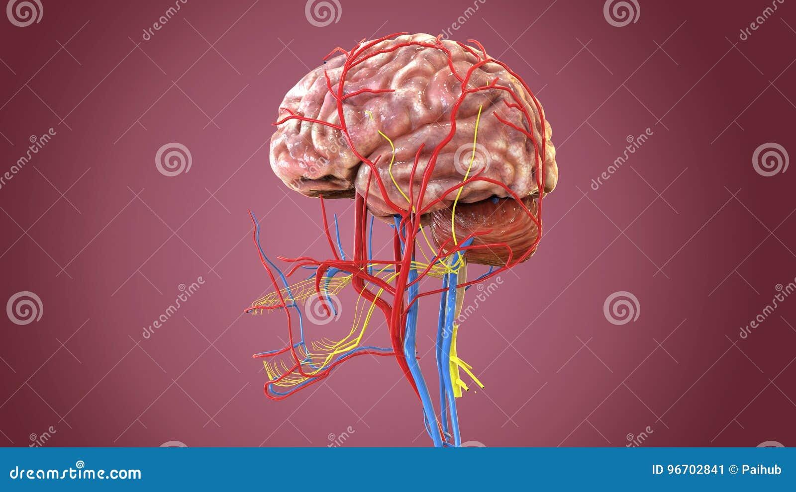 3d Illustration Of Human Body Brain Anatomy Stock Illustration ...