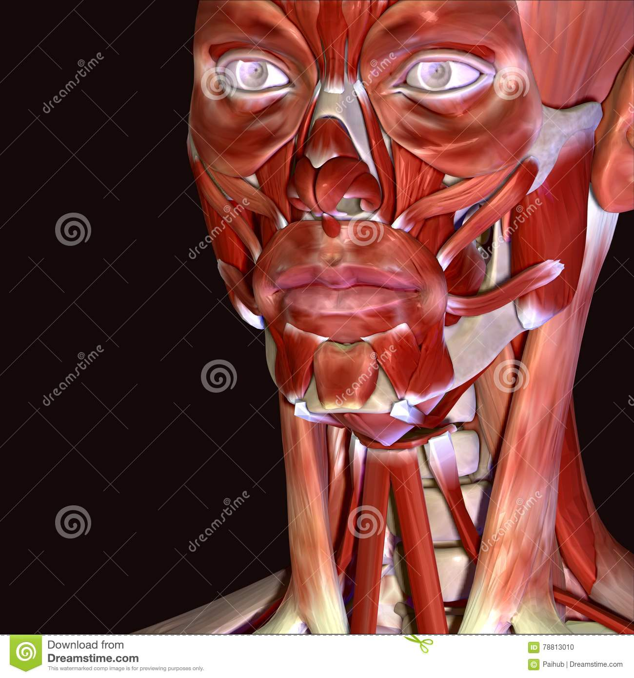 3d Illustration Of Human Body Face Muscles Stock Illustration