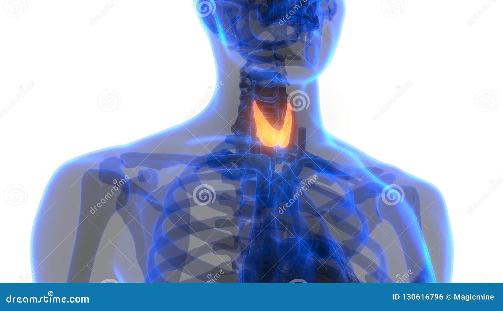 Human Body Glands Thyroid Gland Anatomy Stock Illustration