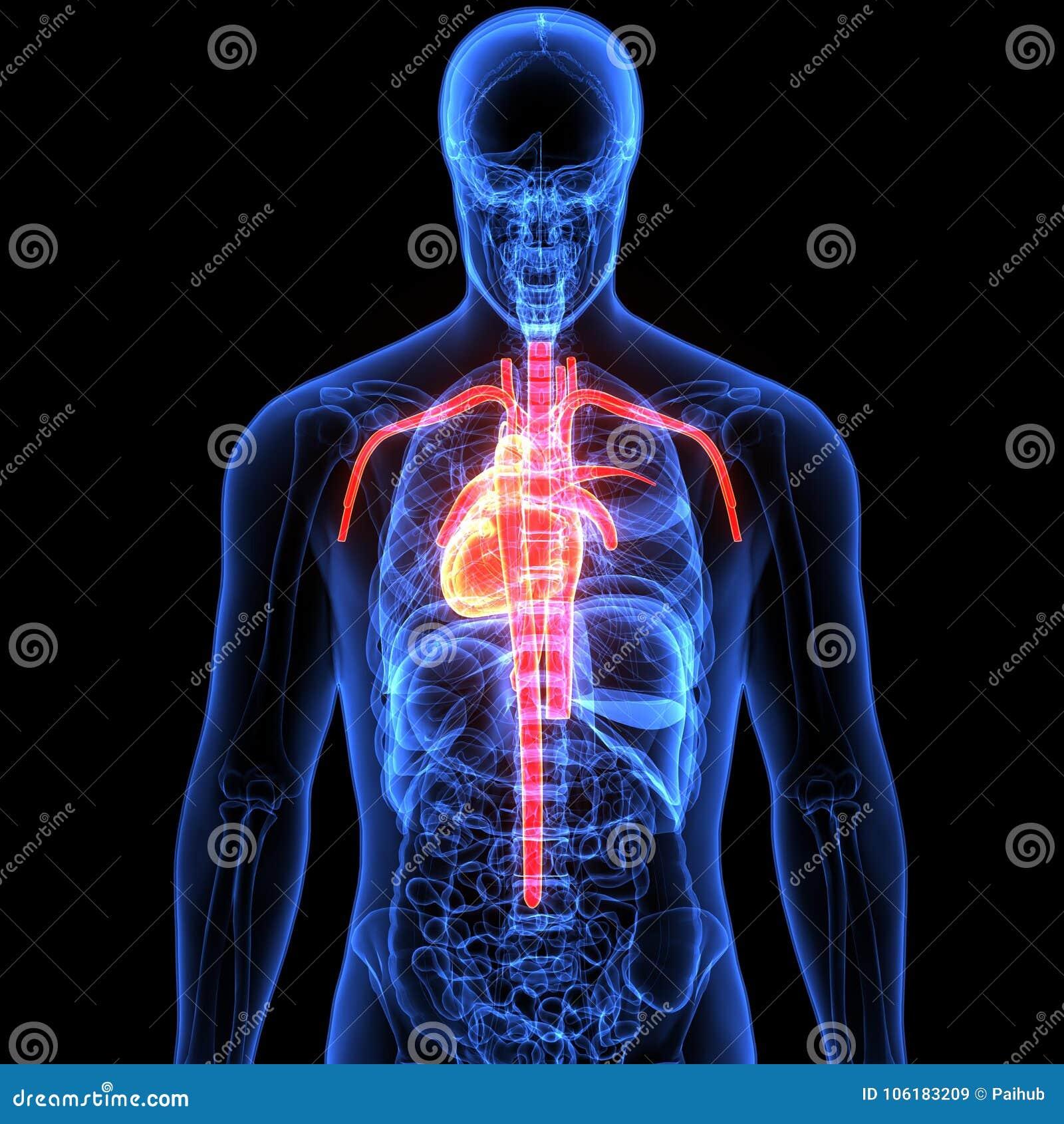 3d Illustration Of Human Body Heart Anatomy Stock Illustration ...