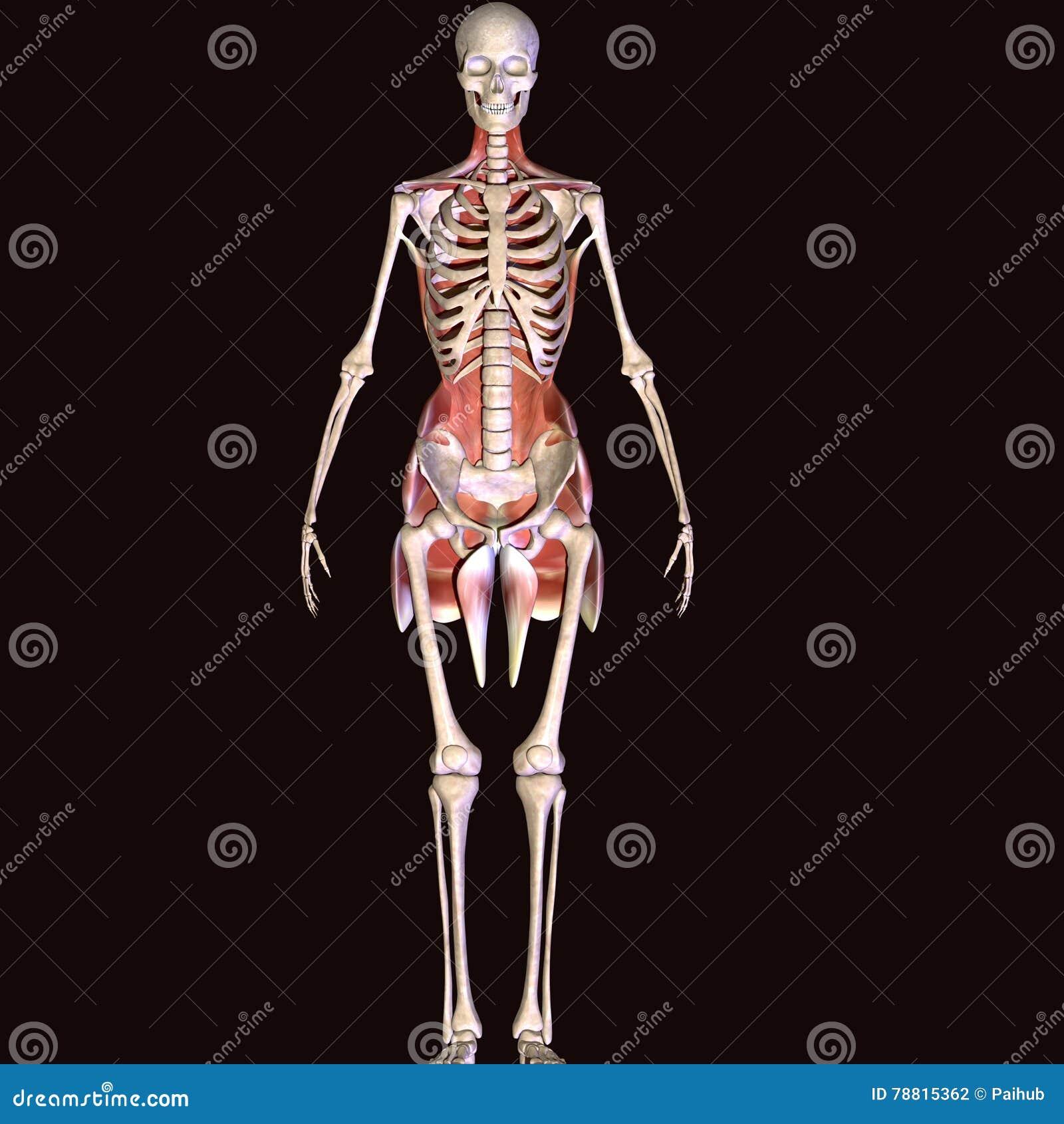 3d Illustration Of Human Body Hip Muscles Stock Illustration