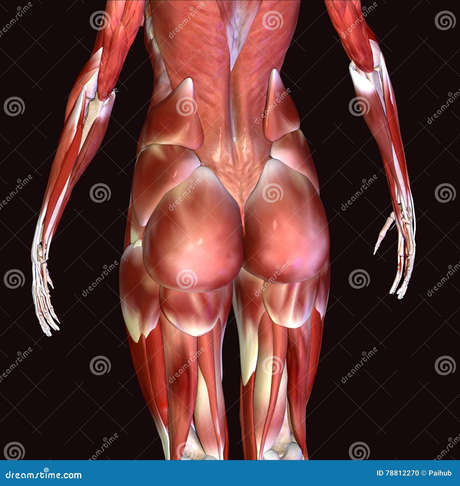 3d Illustration Of Human Body Hips Stock Illustration Illustration