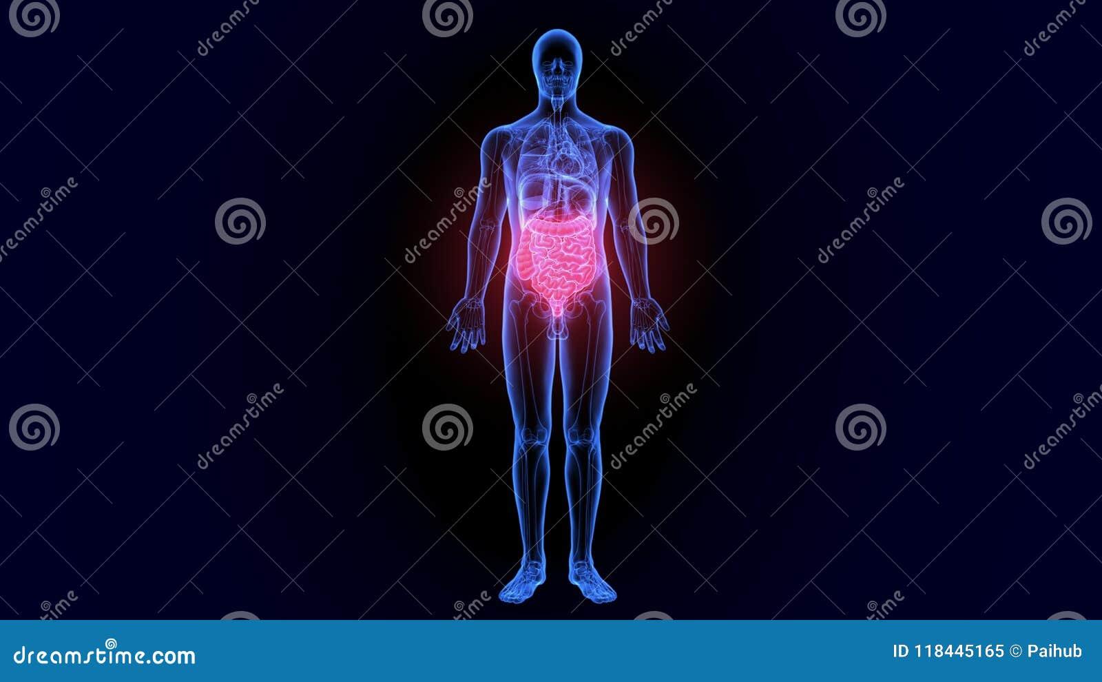 3d Illustration Of Human Body Large Intestine Anatomy Stock