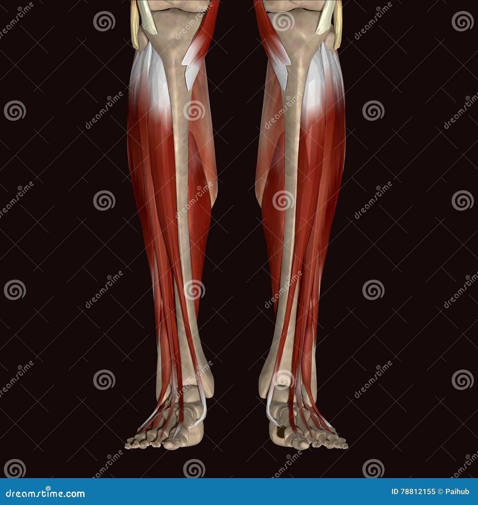 3d Illustration Human Body Leg Stock Illustration Illustration Of