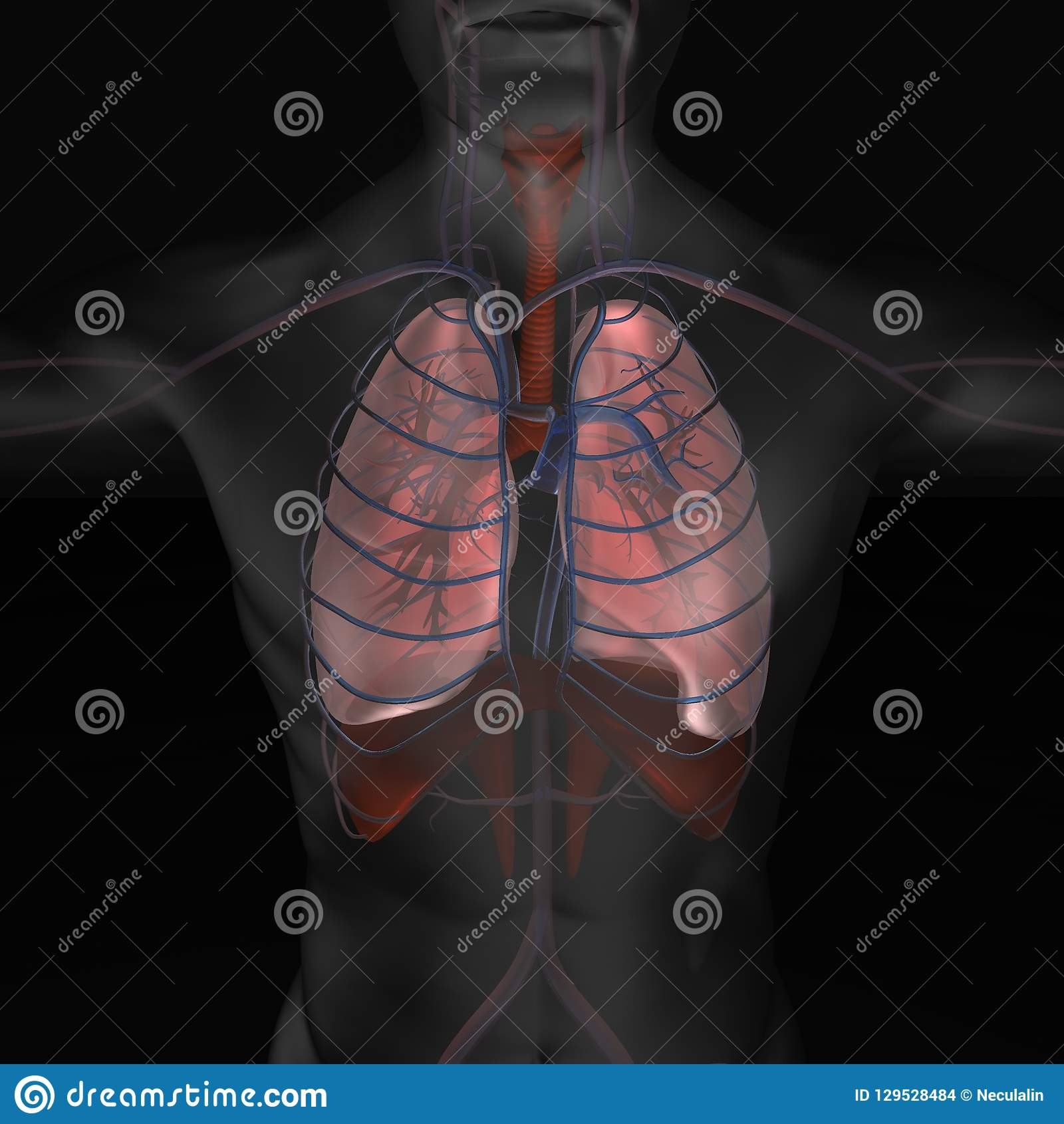 3d Illustration Of Human Body Organic Parts Lungs Illustration