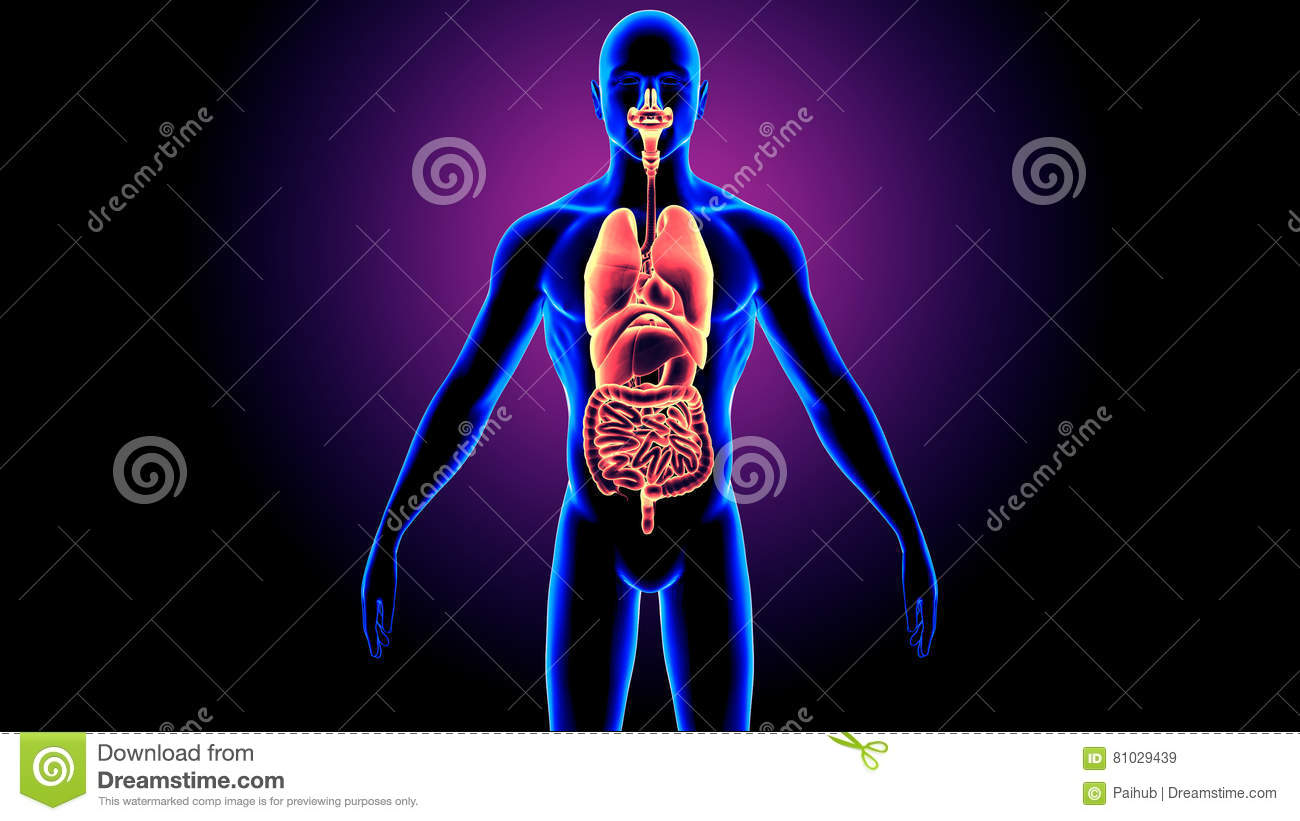 3d Illustration Of Human Body Organs Anatomy Stock Illustration