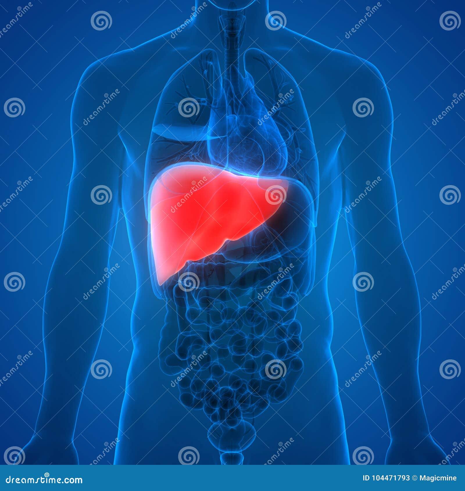 Human Body Internal Organs Liver Anatomy Stock Illustration