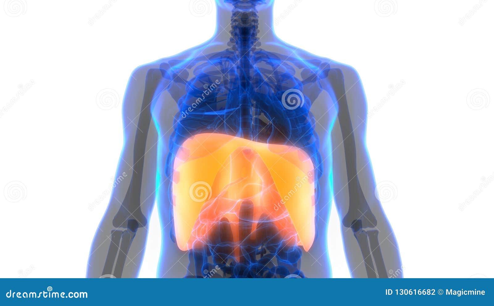 Human Body Organs Respiratory System Diaphragm Anatomy Stock