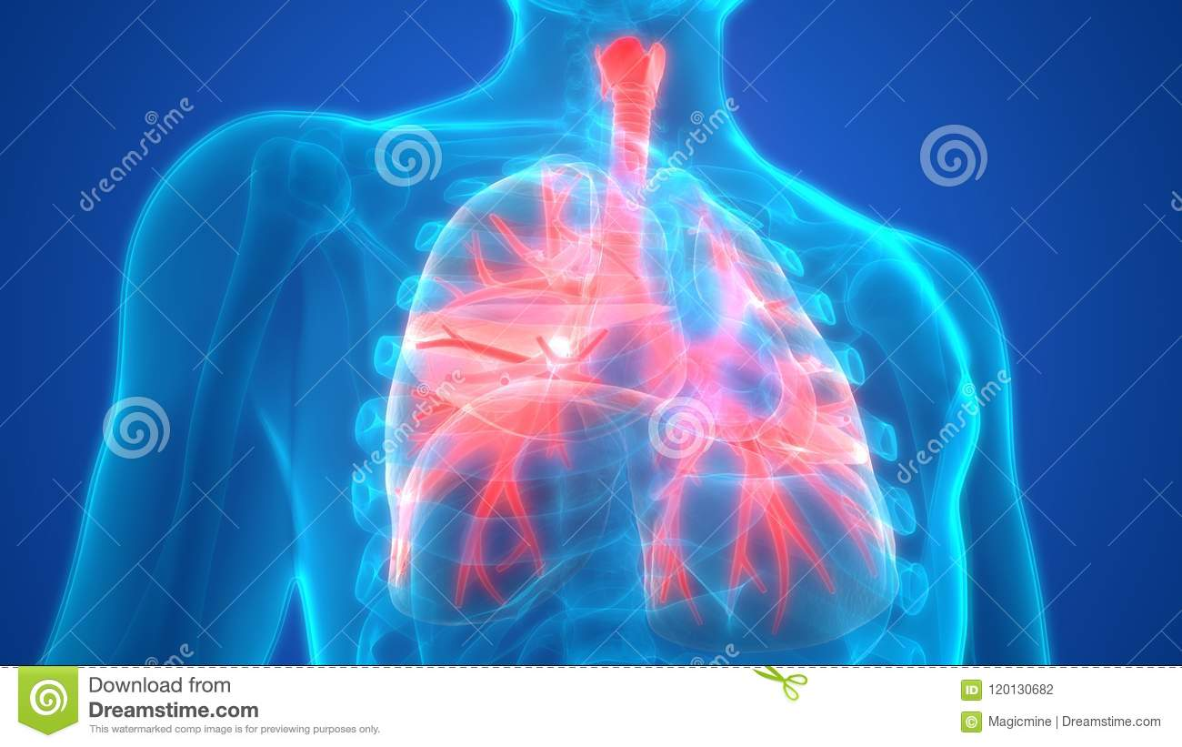 Human Respiratory System Lungs Anatomy Stock Illustration