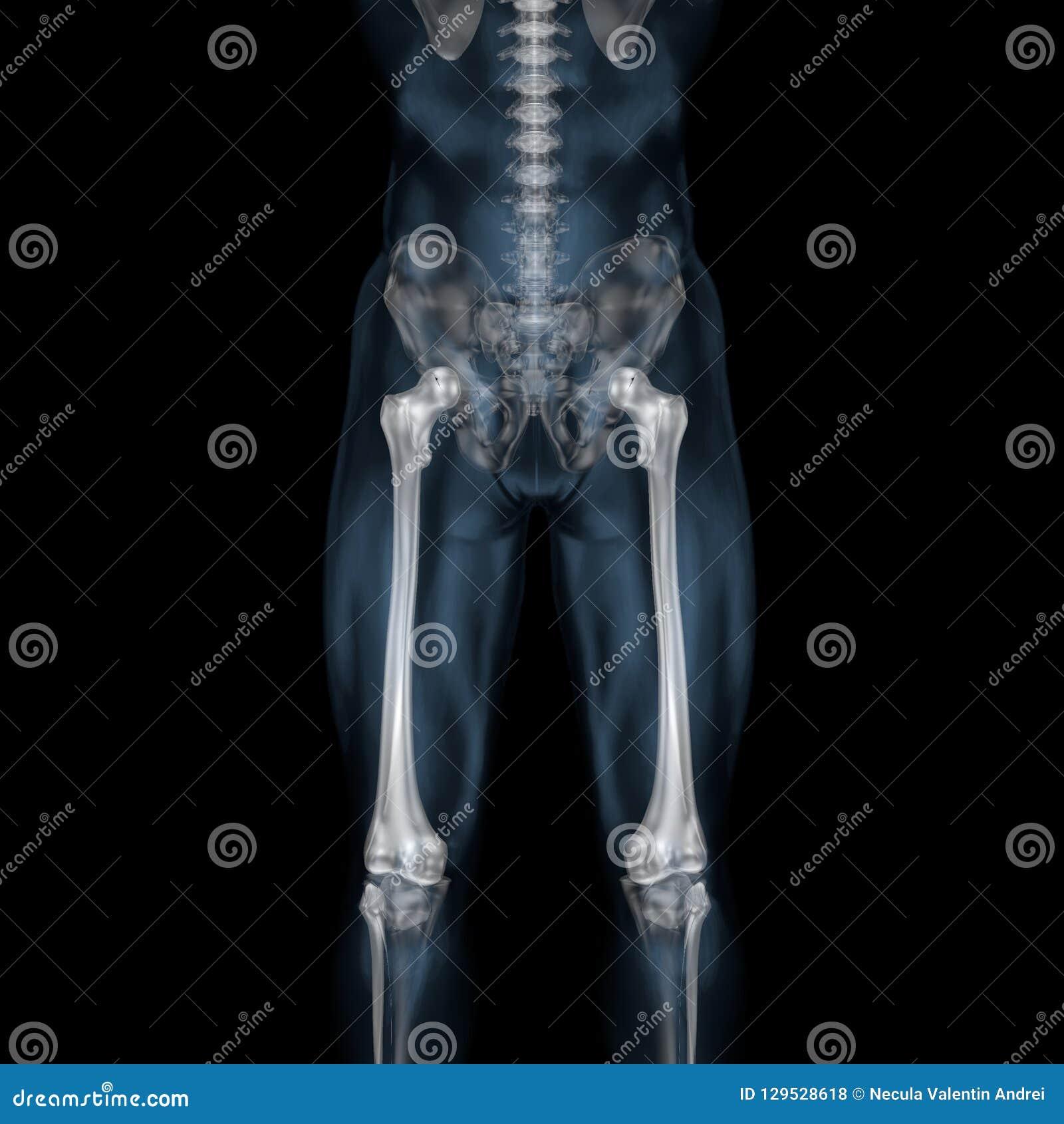 3d Illustration Of Human Body Skeletal Femur Stock