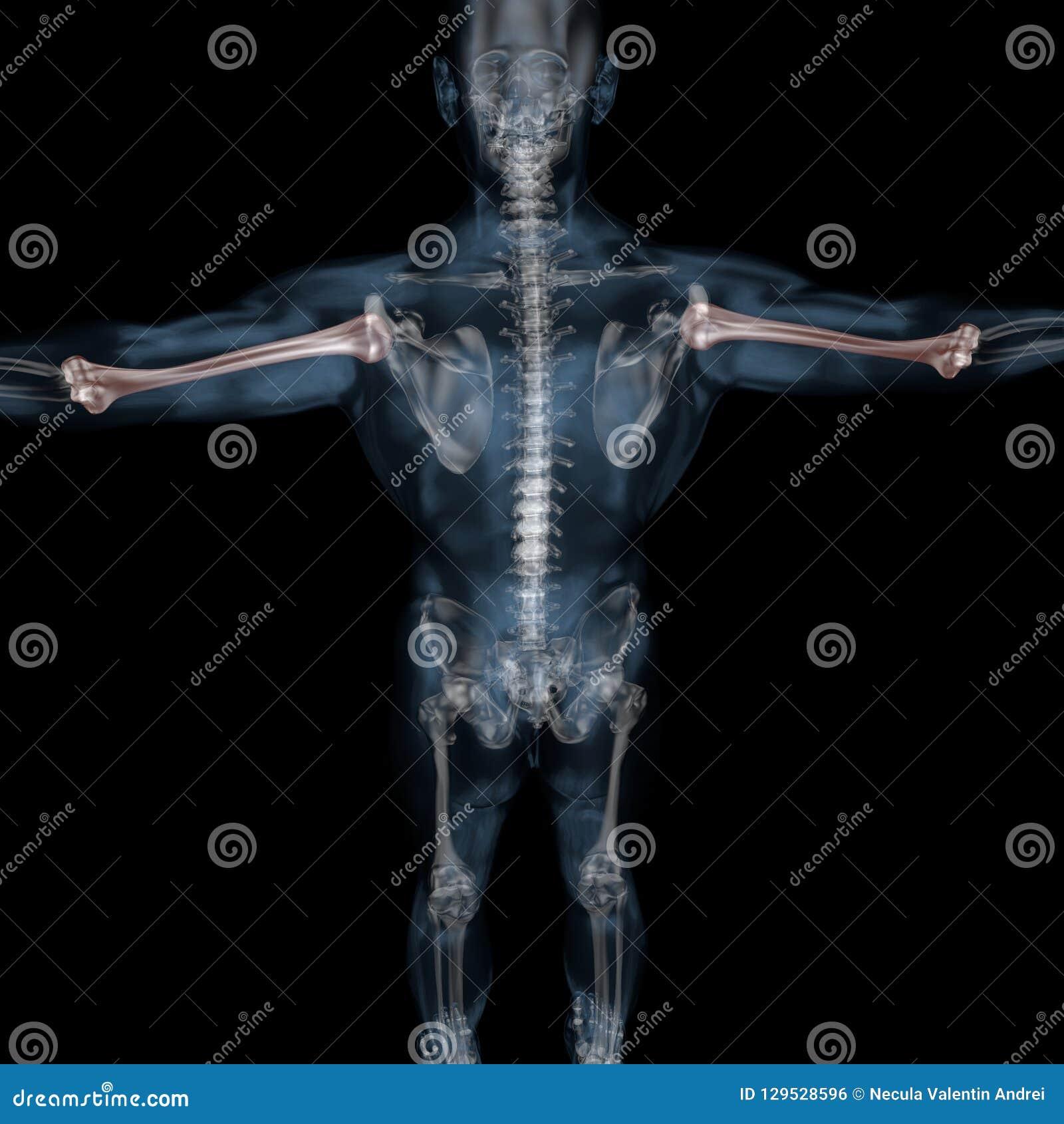 3d Illustration Of Human Body Skeletal Humerus Stock Illustration