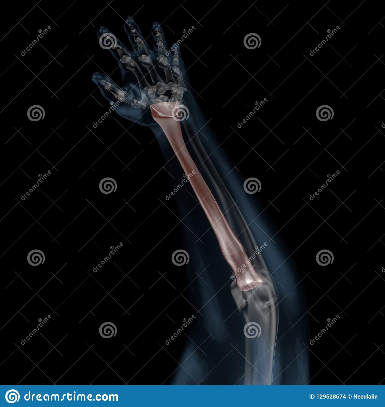 3d Illustration Of Human Body Skeletal Radius Stock