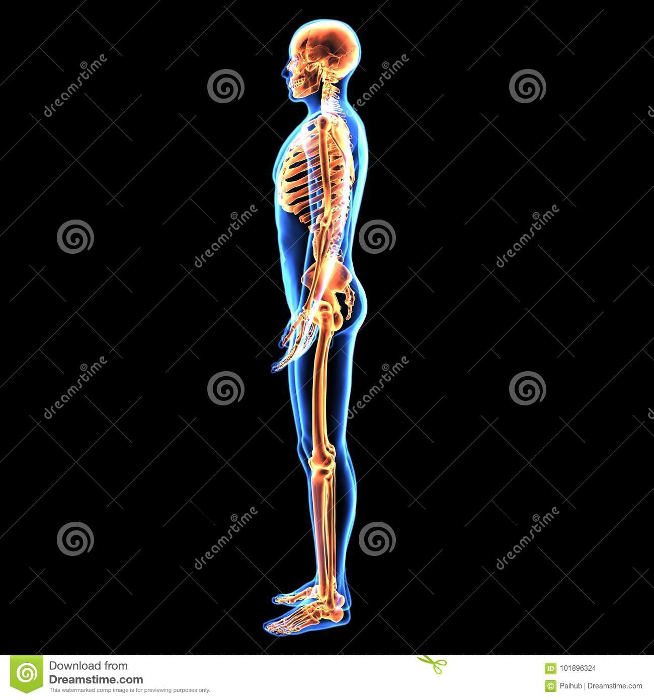 3d illustration of human body skeleton anatomy stock illustration download 3d illustration of human body skeleton anatomy stock illustration illustration of body bone ccuart Image collections