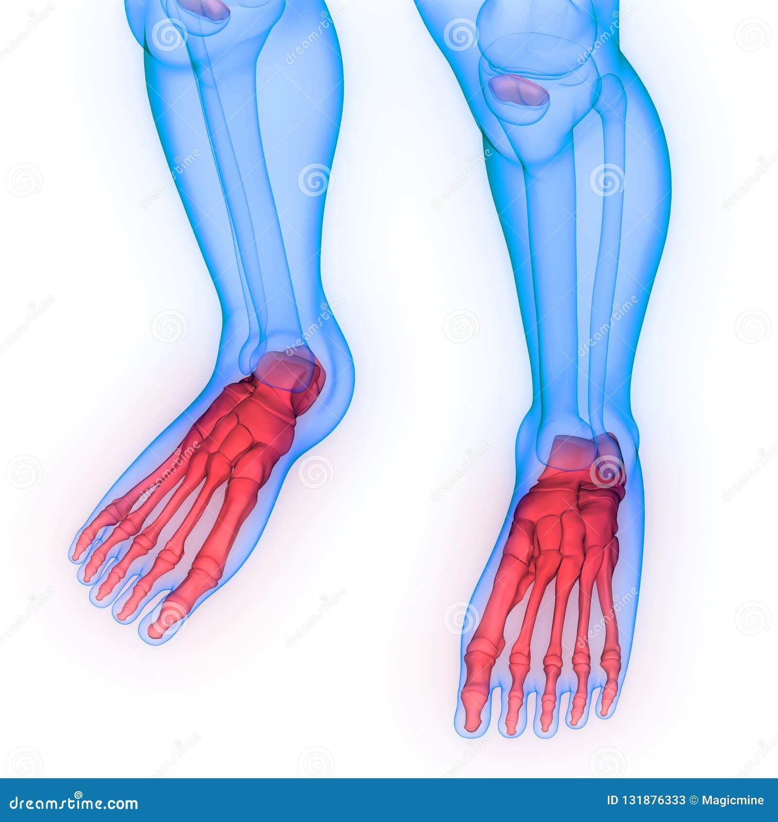 Human Body Skeleton System Foot Bone Joints Anatomy Stock Image