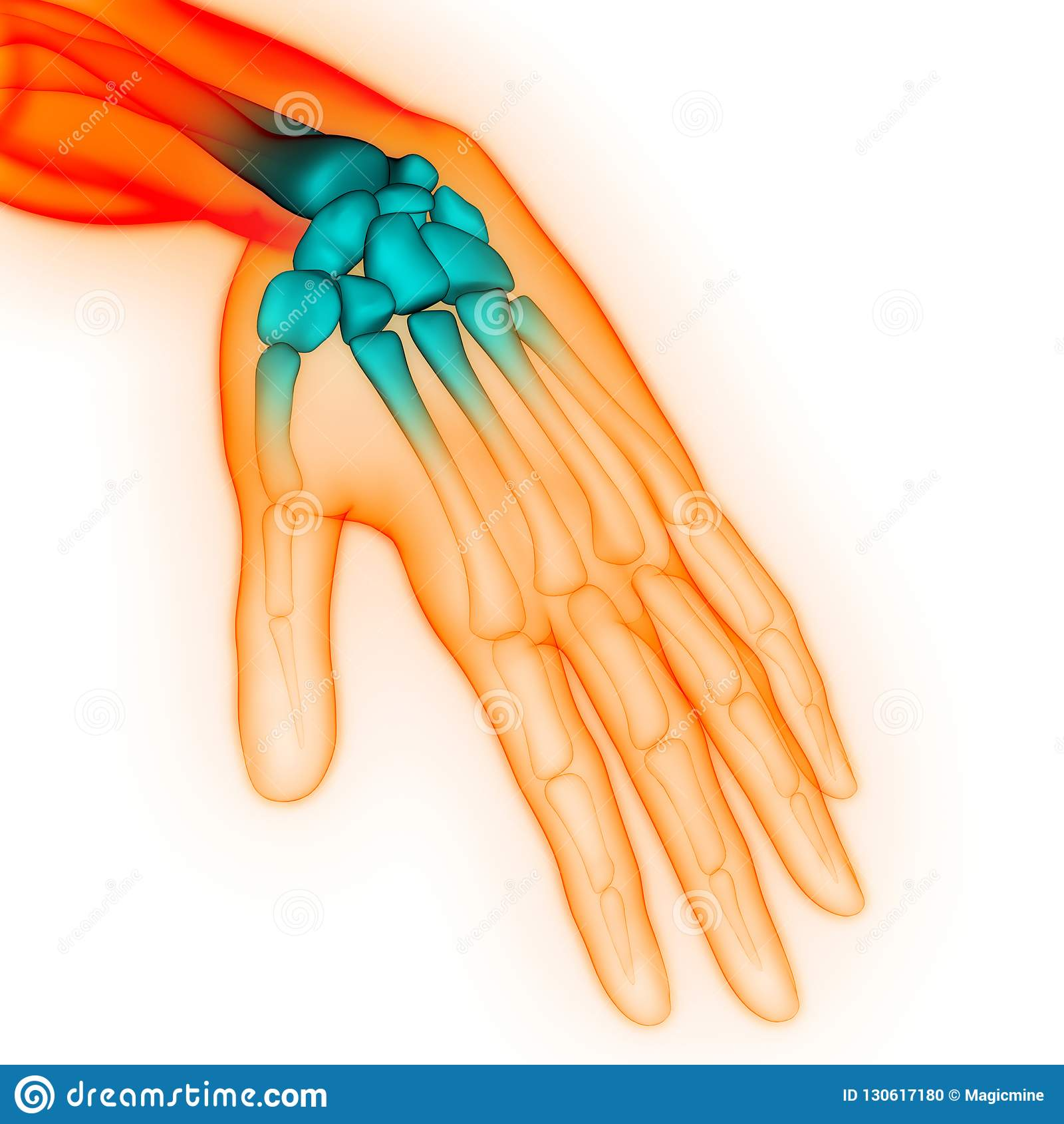 Human Body Skeleton System Hand Bone Joints Pain Anatomy