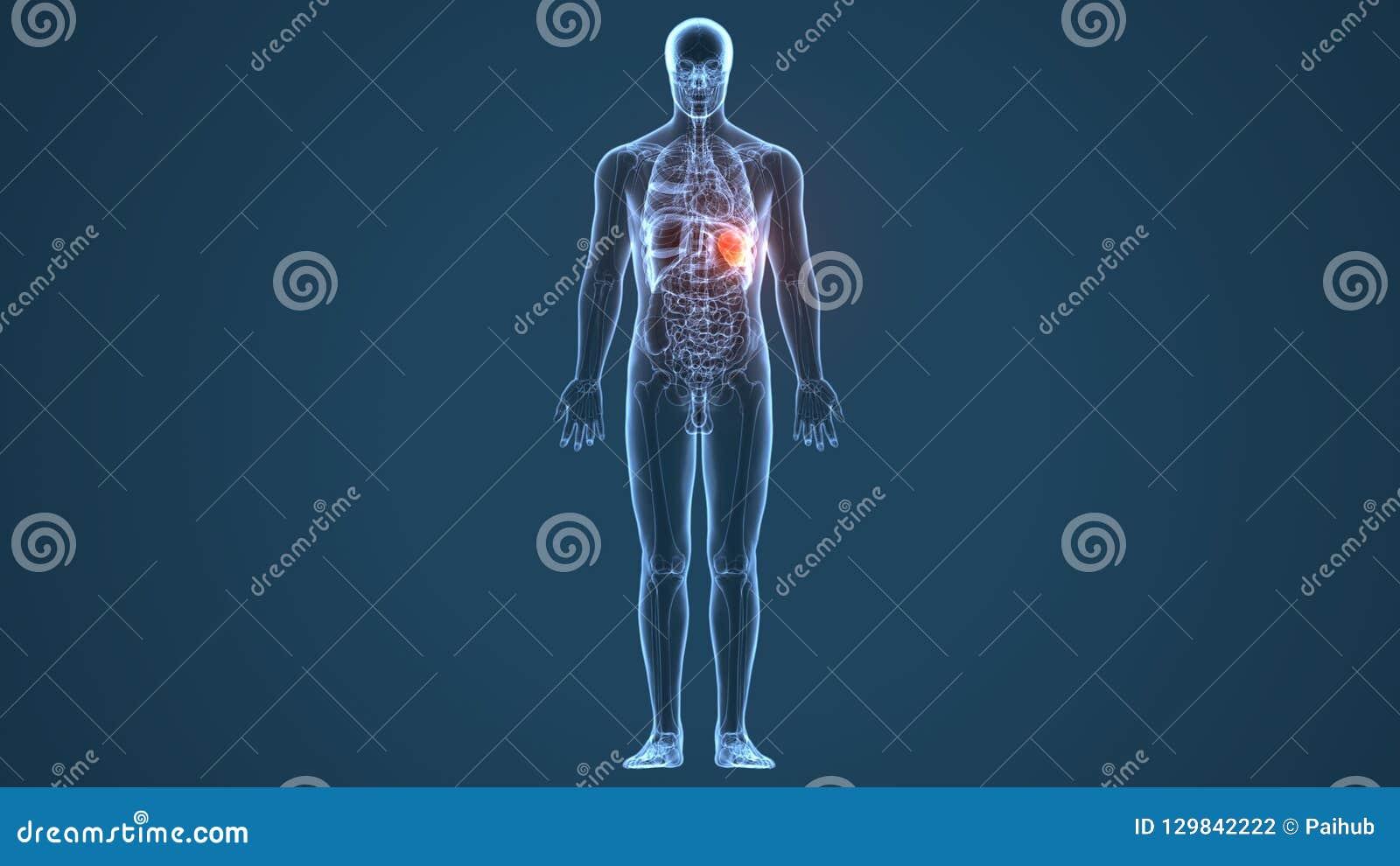 3d illustration of human body stomach anatomy