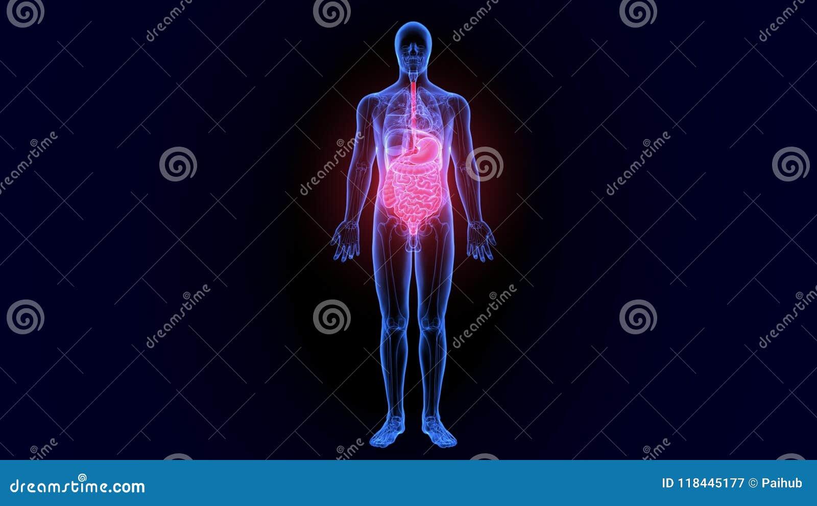 3D Illustration Of Human Digestive System Anatomy Large Intestine ...