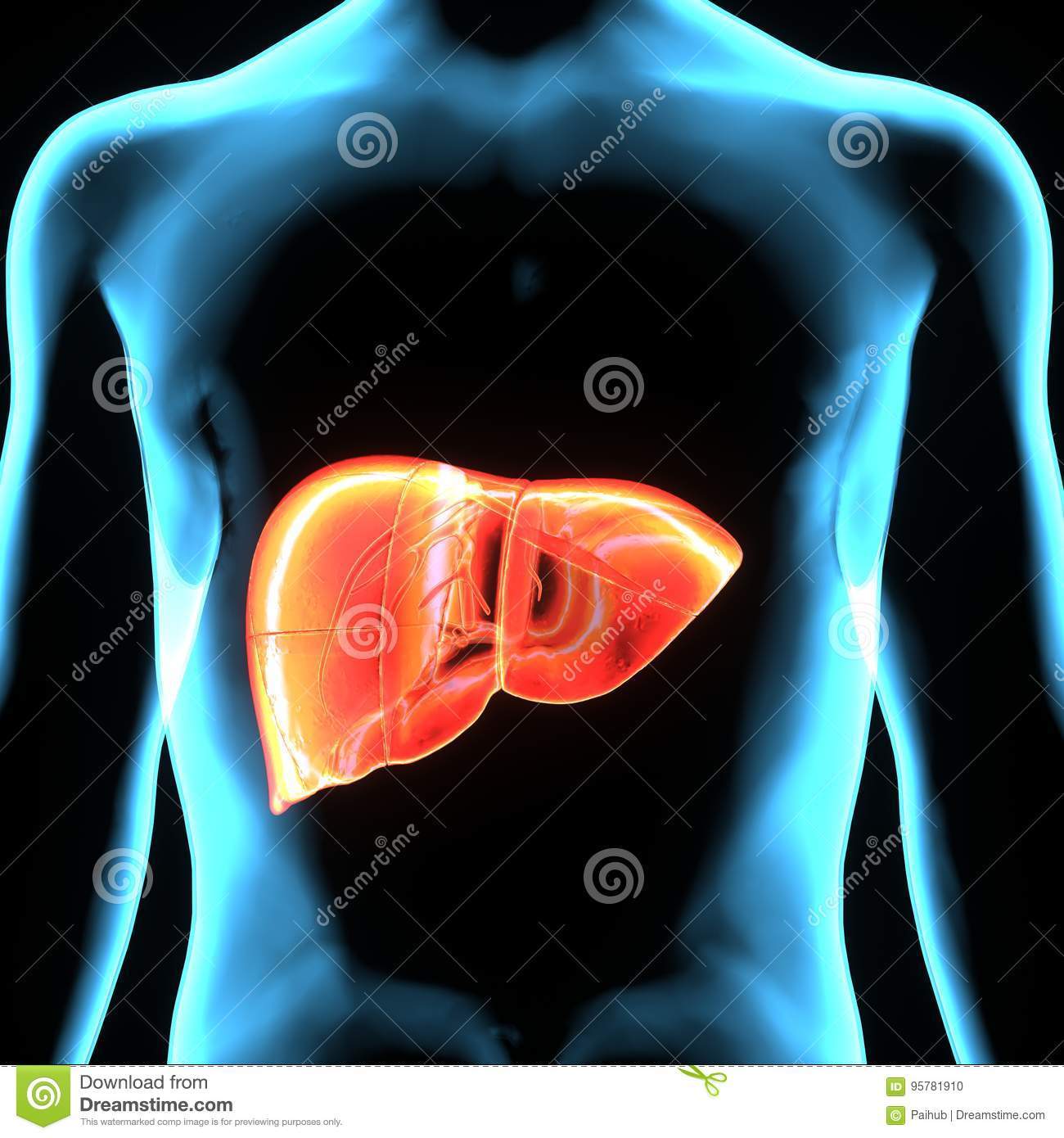 3d Illustration Of Human Digestive System Anatomy X28stomach With