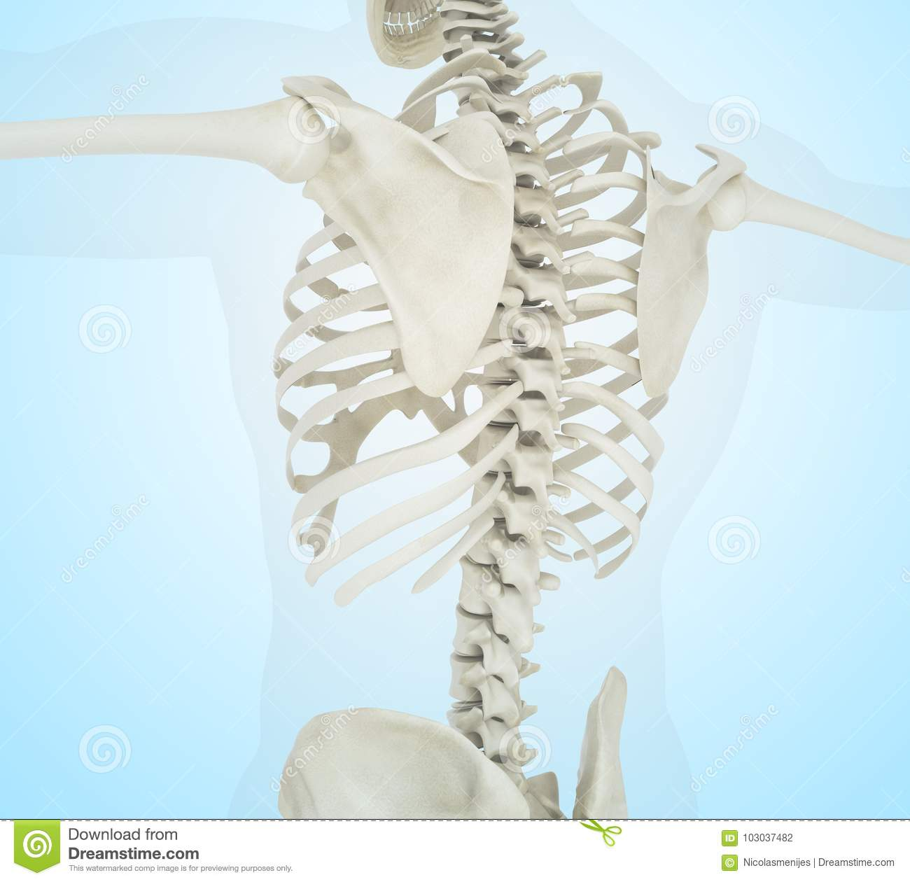 3d Illustration Of Human Skeleton Back Stock Illustration