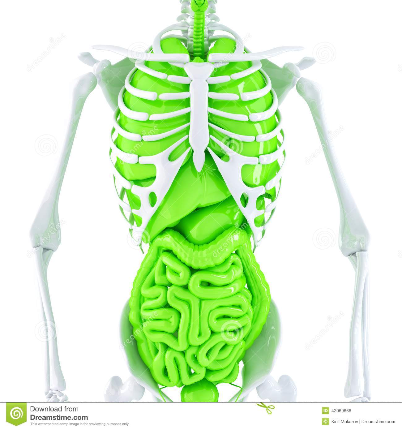 3d Illustration Of Human Skeleton And Internal Organs. Isolated ...