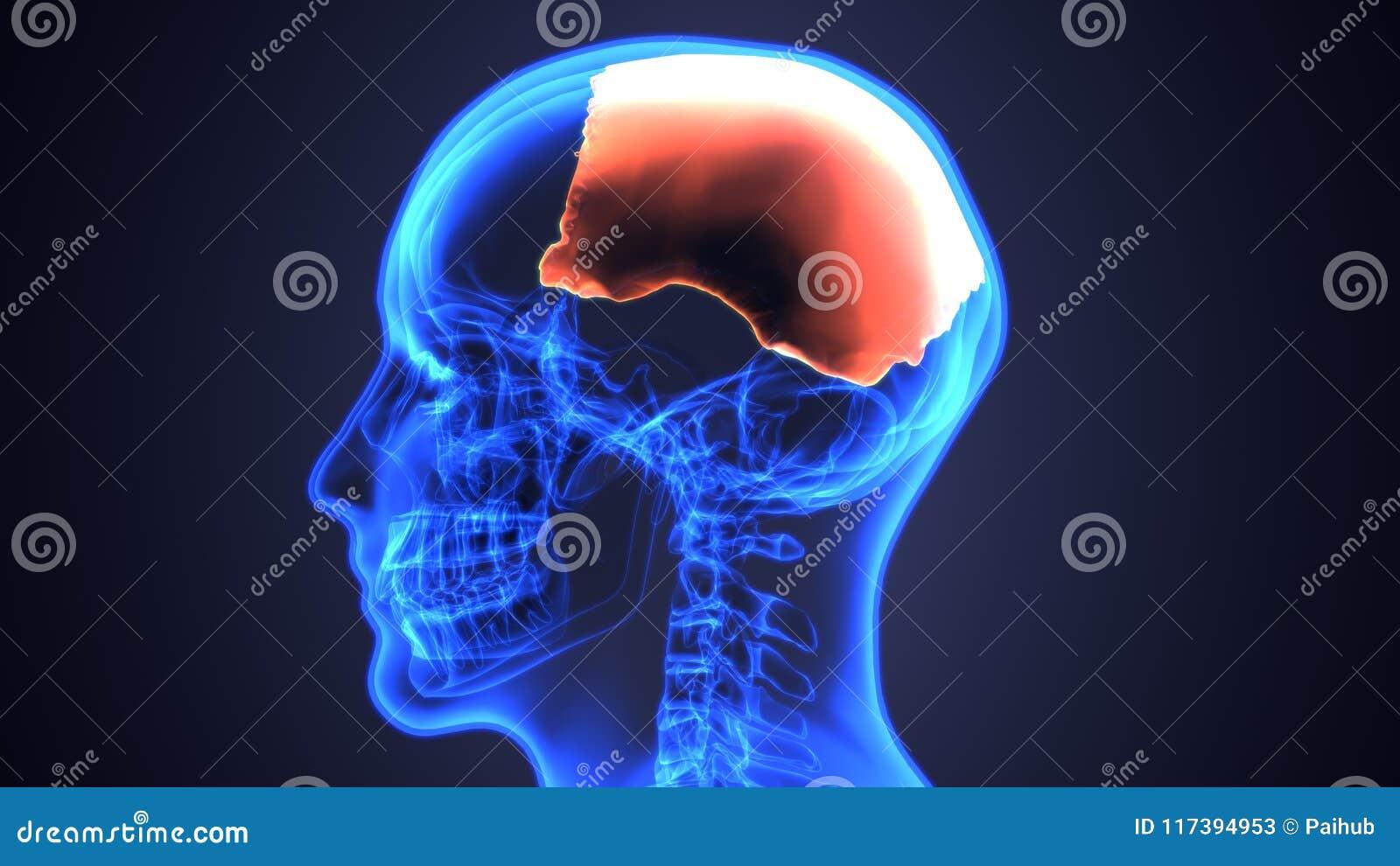 3d Illustration Of Human Skeleton Skull Anatomy Stock Illustration ...