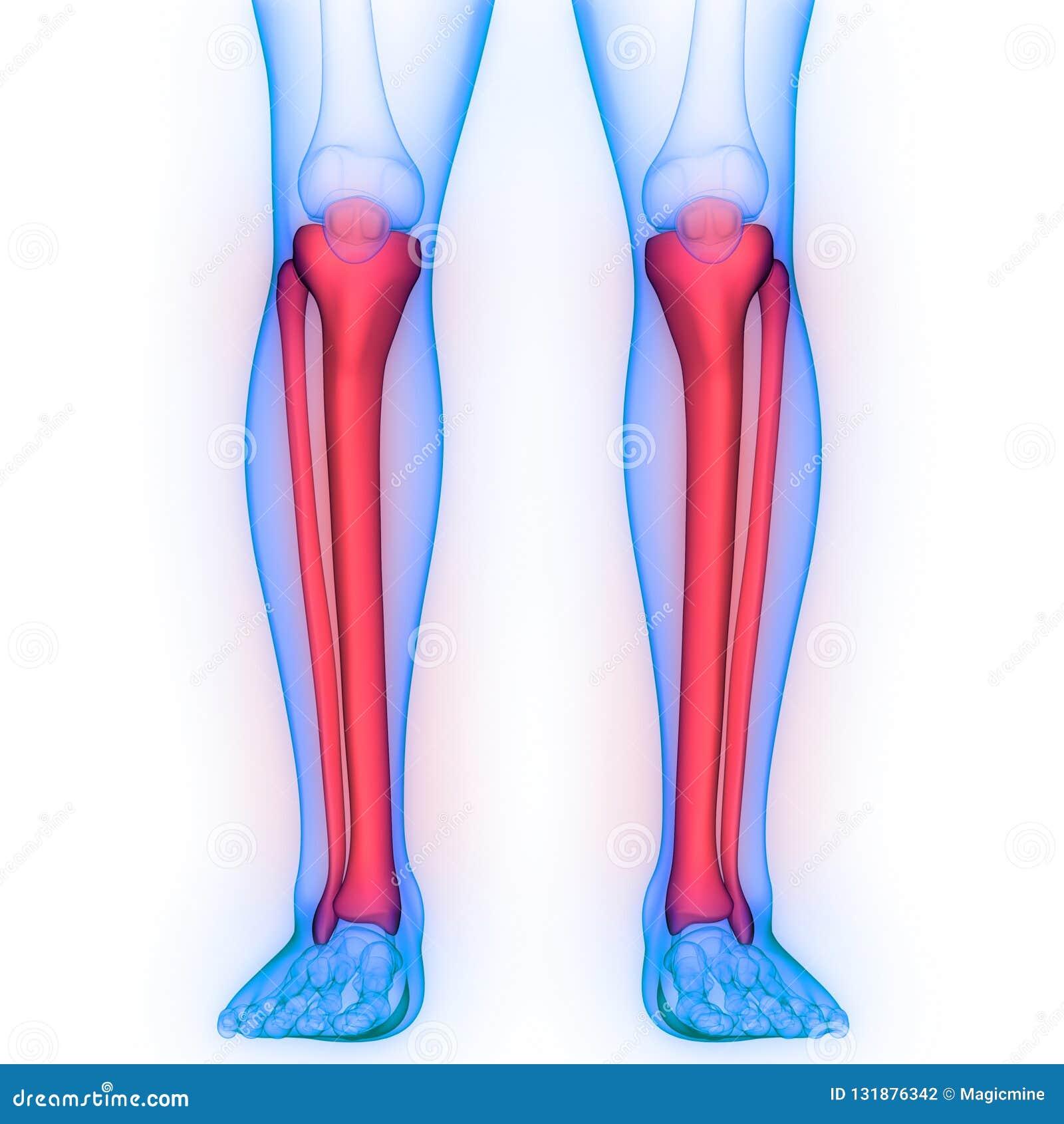 Human Skeleton System Tibia And Fibula Bone Joints Anatomy Stock