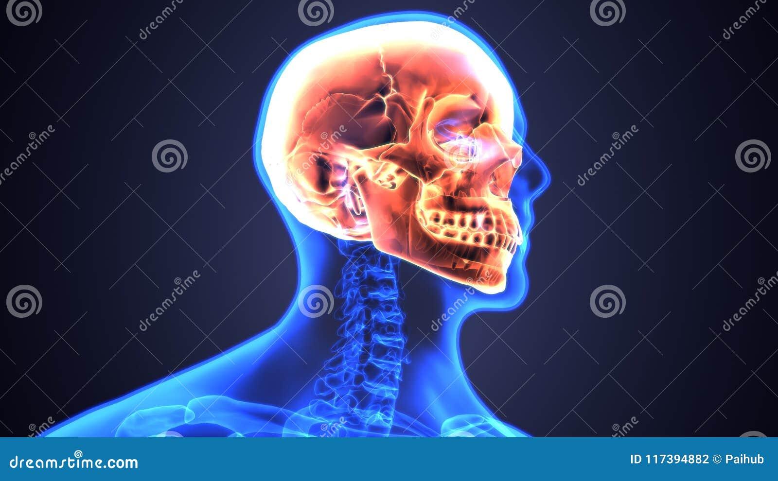 3d Illustration Of Human Skull Anatomy Diagram | Periodic Stock ...