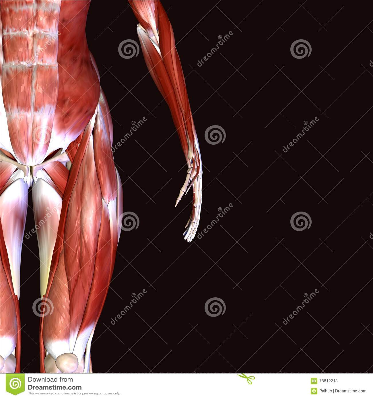 3d Illustration Of Muscles And Anatomy Stock Illustration