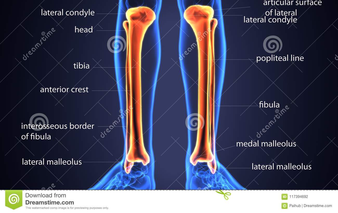 3d Illustration Of Skeletion Tibia And Fibula Bone Anatomy Stock ...